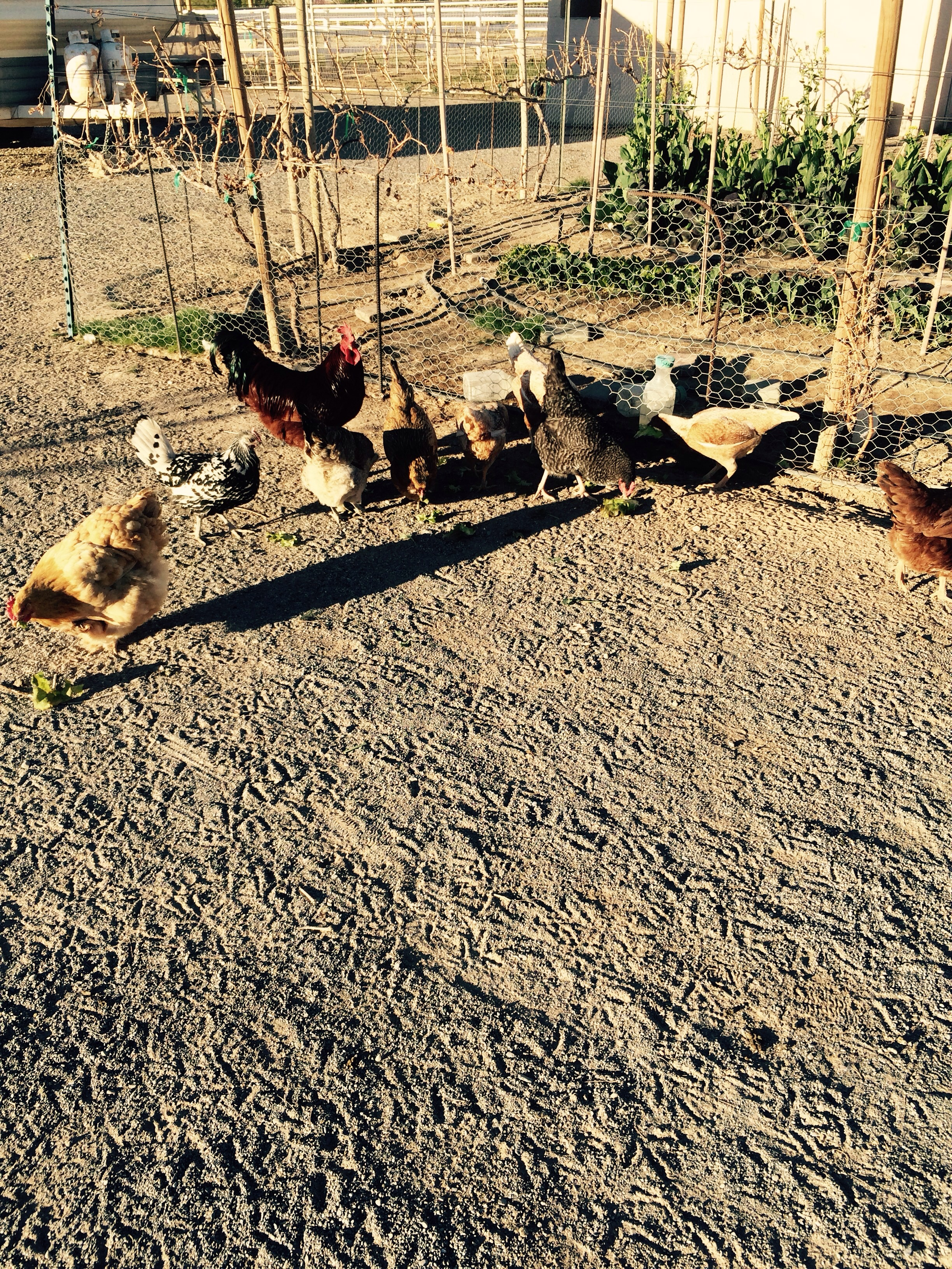 Chickens enjoy any farm greens we give them we have no waste that's self sustaining farming