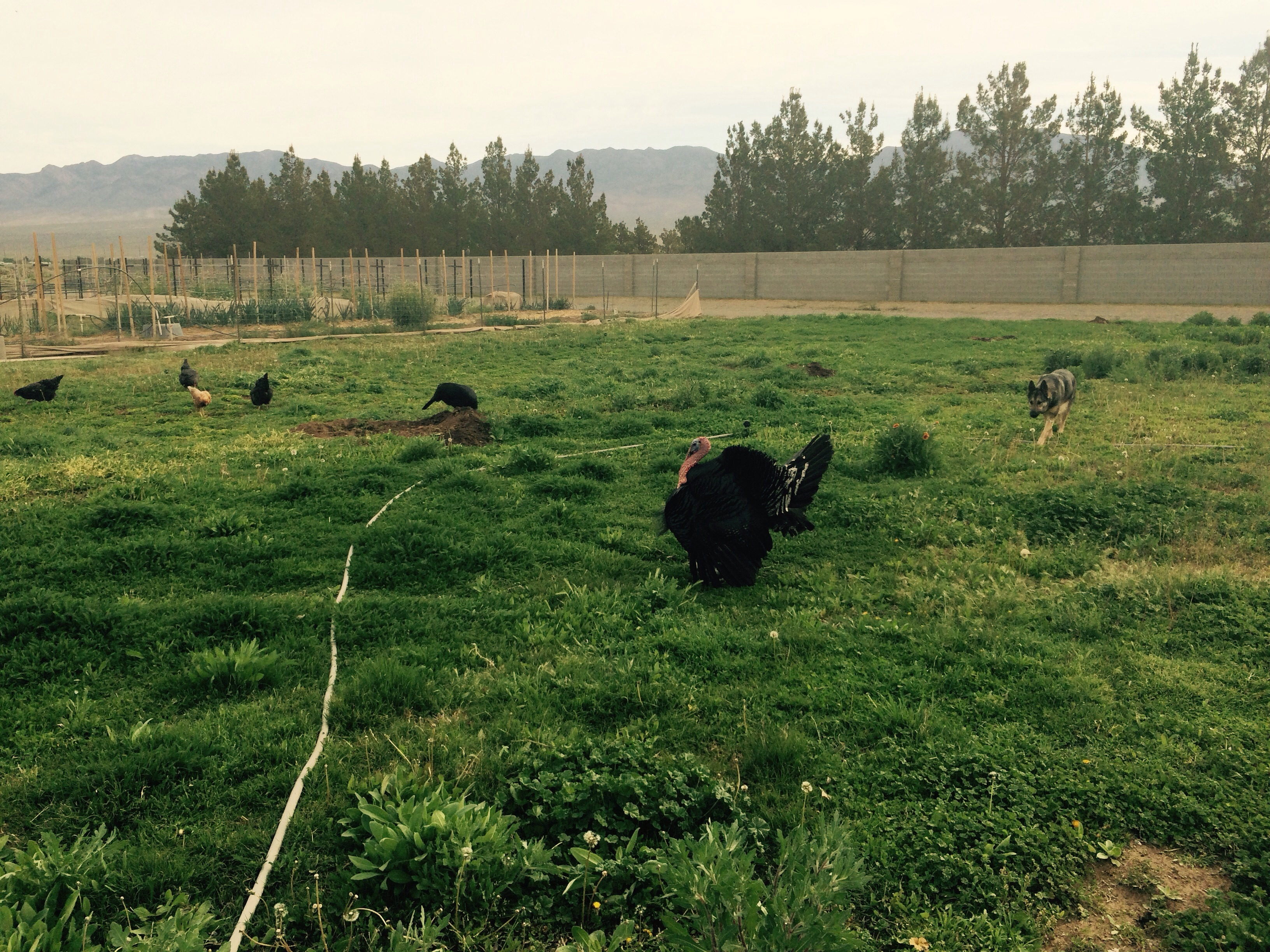 Daddy turkey and mamas along with chickens are out on the chicken grass pastures