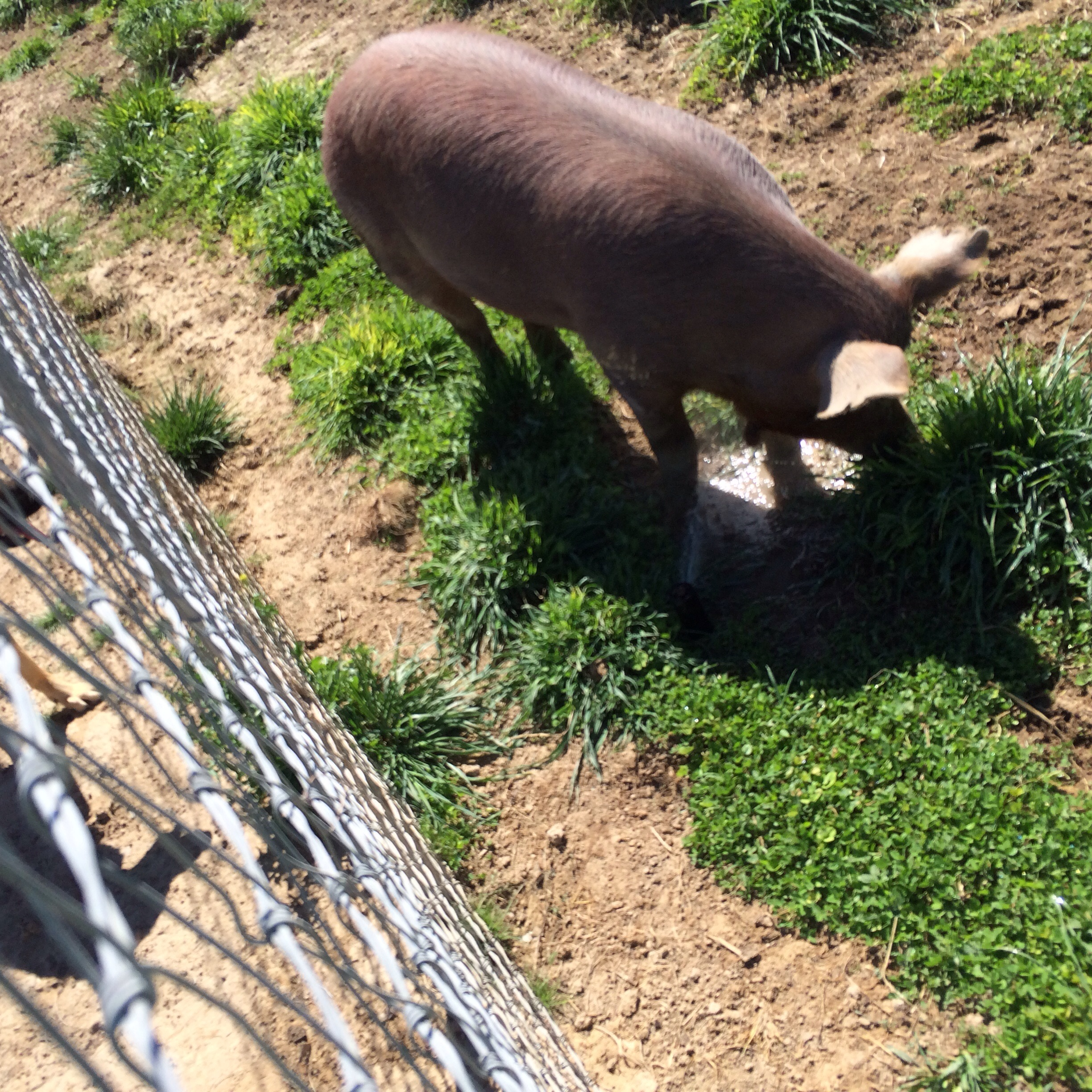The pigs love to play with the sprinklers and they break them often