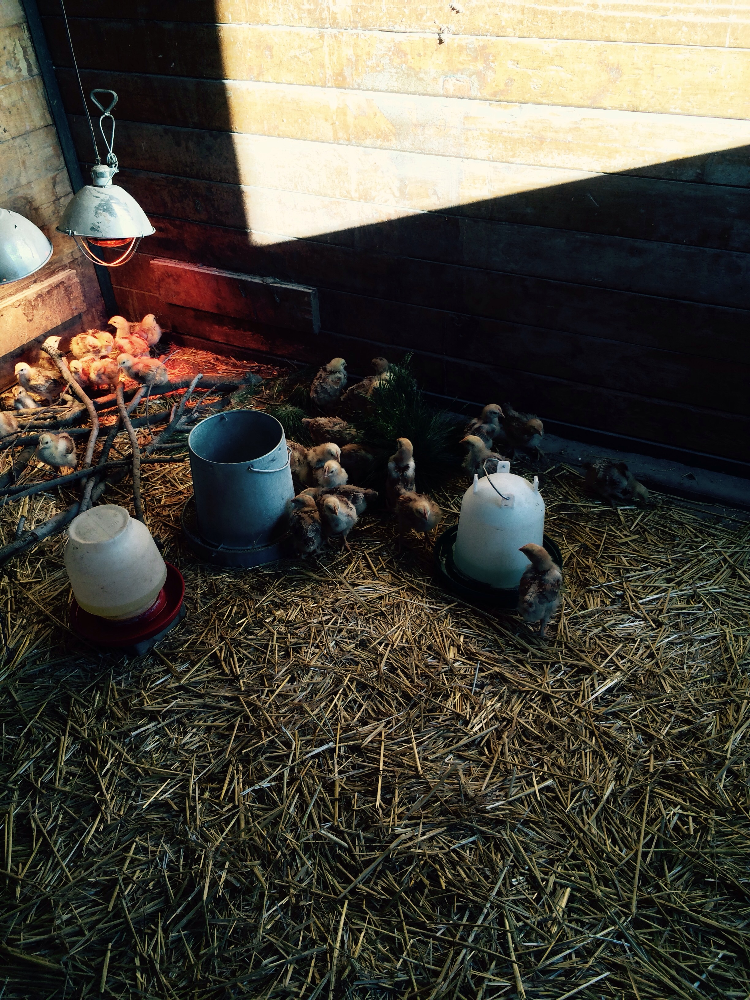 The chicks are doing well in the big barn we put sticks and grasses pine cones straw all so the chicks can fly run and play happy animals is what we work hard to do