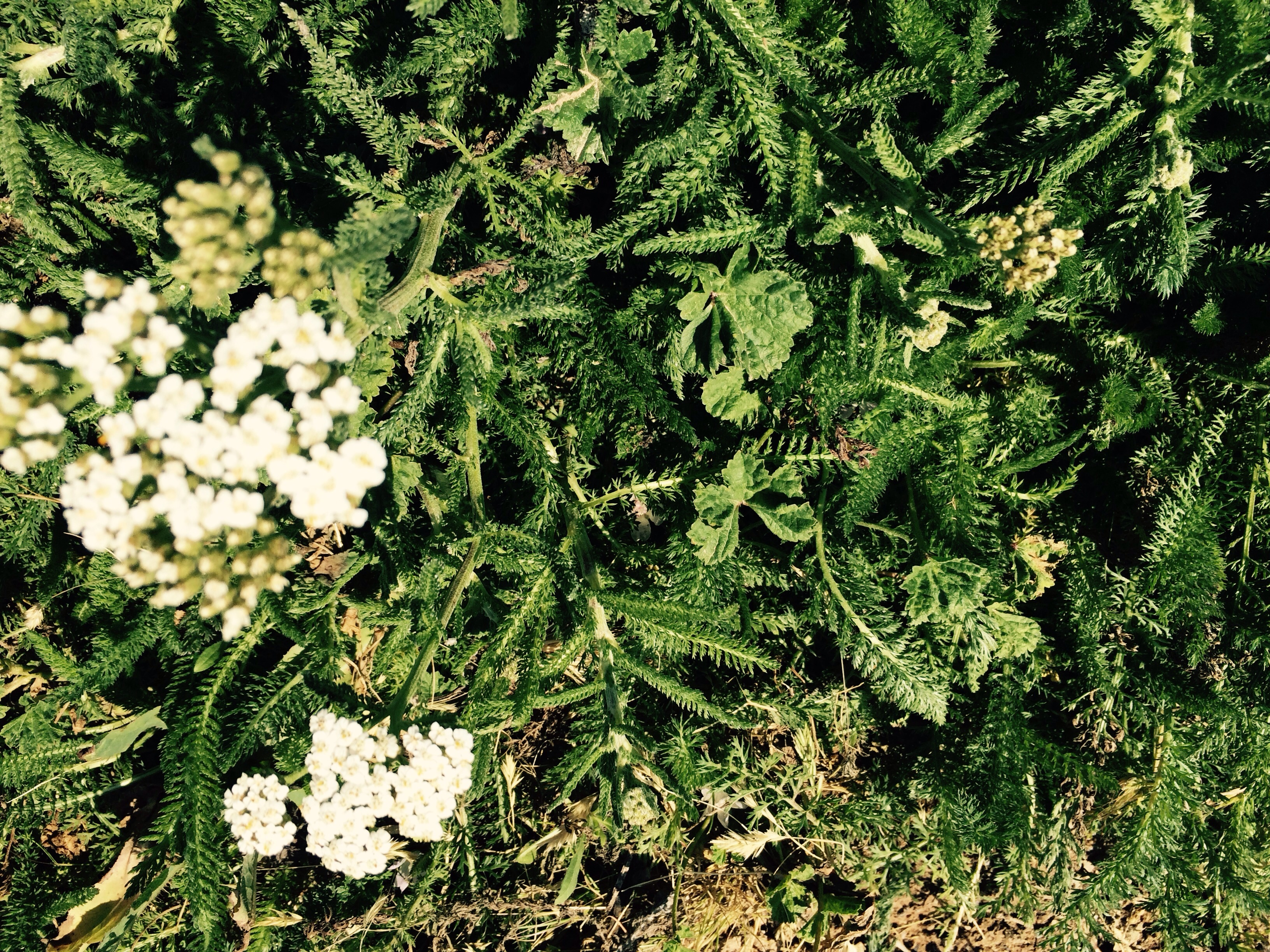 Yarrow blossoms are blossoming you can make some of the healthiest teas that boost your immune system
