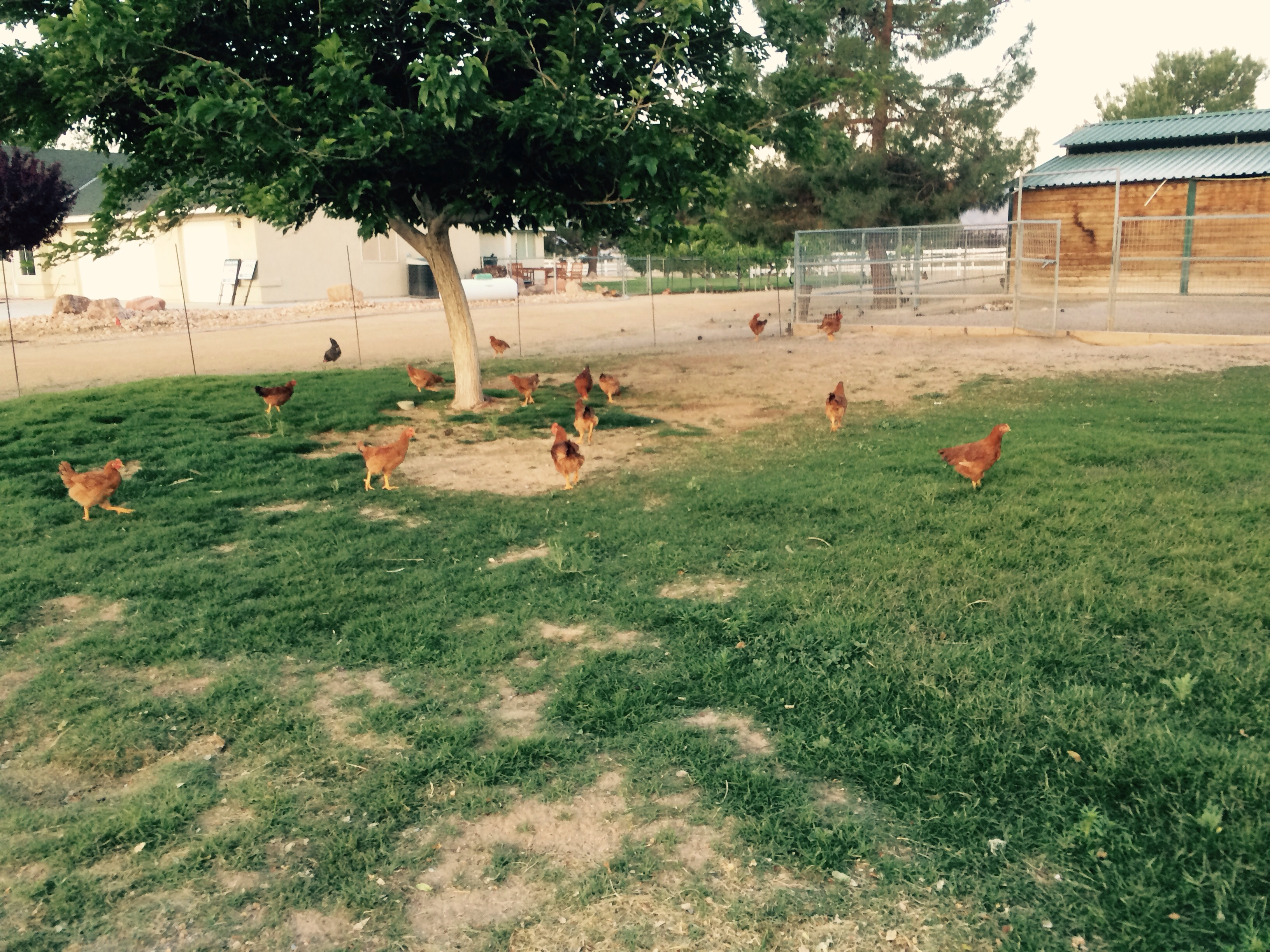 The chickens are growing loving the pasture