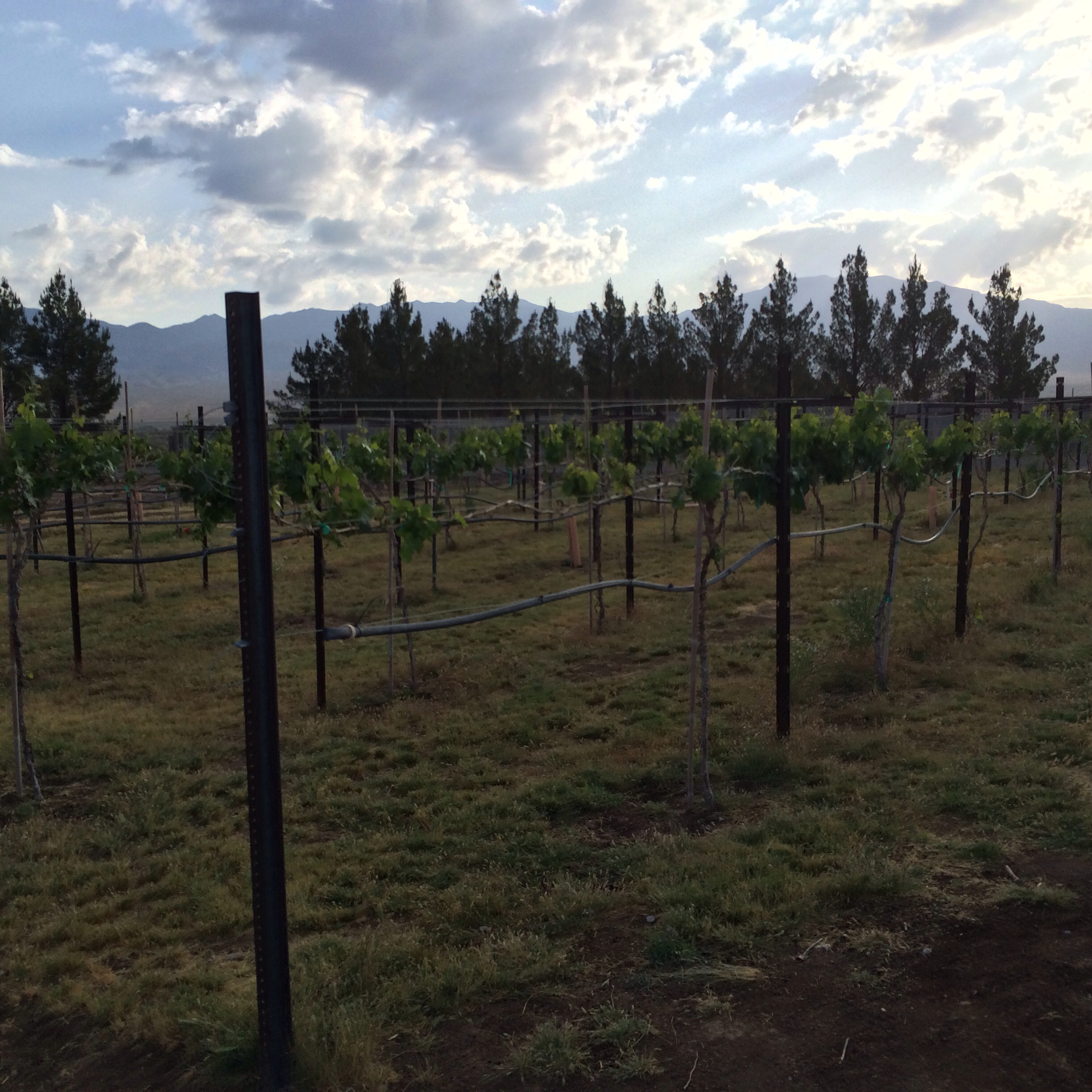This mornings view in the farm vineyard