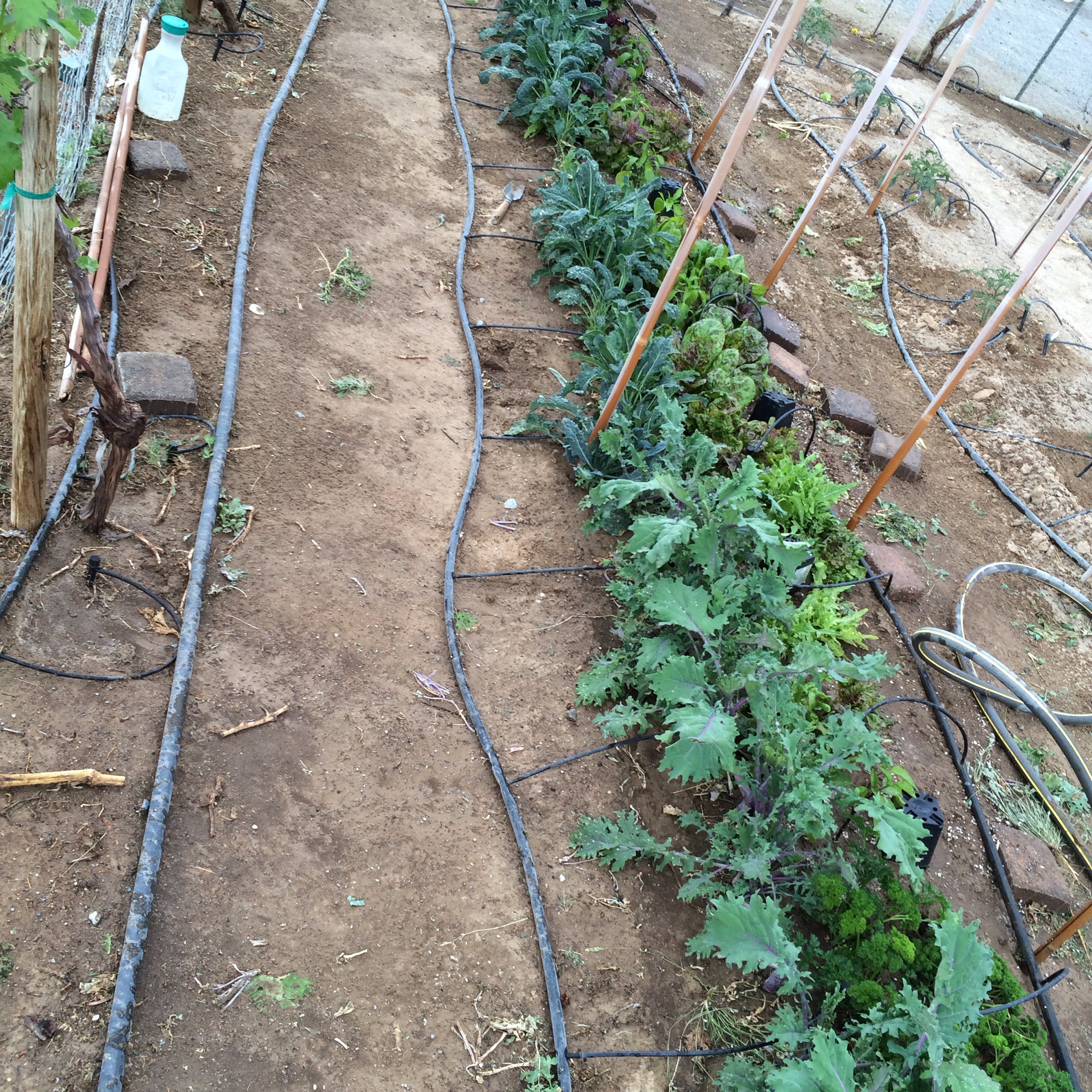 We tucked some our pepper plants in between some greens as the greens will be done soon and they provide some cover for the small plants some of them are pardon ,Shishito, ancho, jalapeño and ghost peppers all were seed saved or bio dynamic seedlings that we started here on the farm