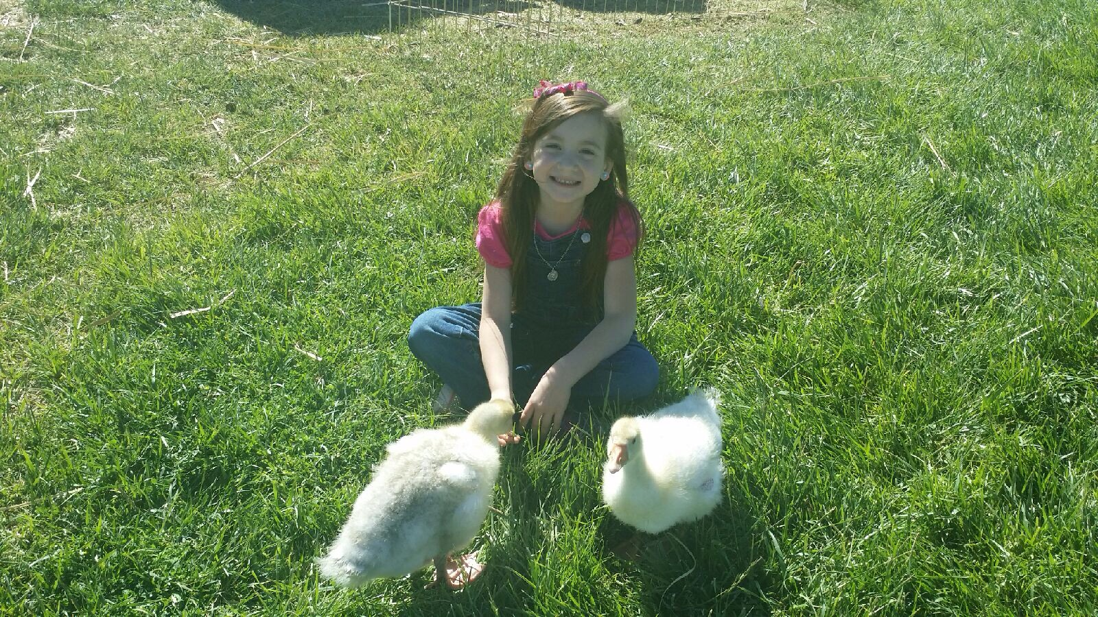 Ella rose and her goslings they are growing fast Ella asked her Mom if she could take them to school for show and tell
