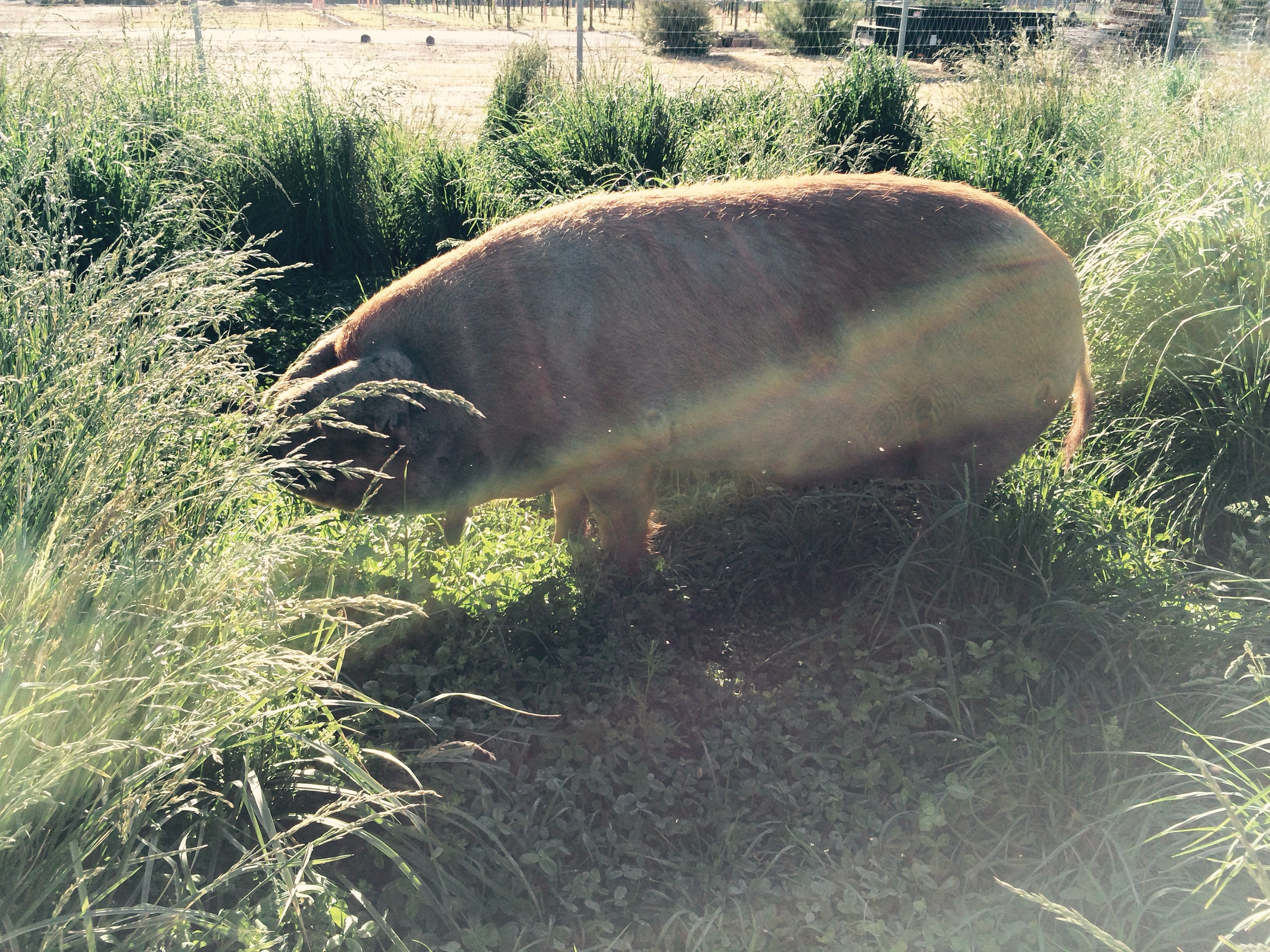 She moved over a pasture to hang out with Rocco I am a pig wrangler I moved four pigs across five acres but when you treat them right they trust you and will go where ever you ask