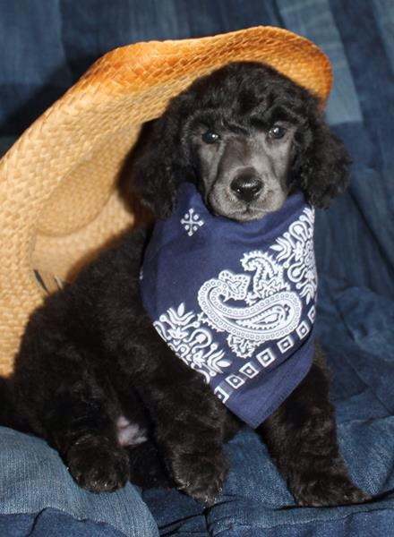 He is so cute his breeder at olive u poodles said after his photo shoot she sitting at her computer and felt a tug at her leg it was Sammy she picked him up and he slept on her lap for 20 minutes