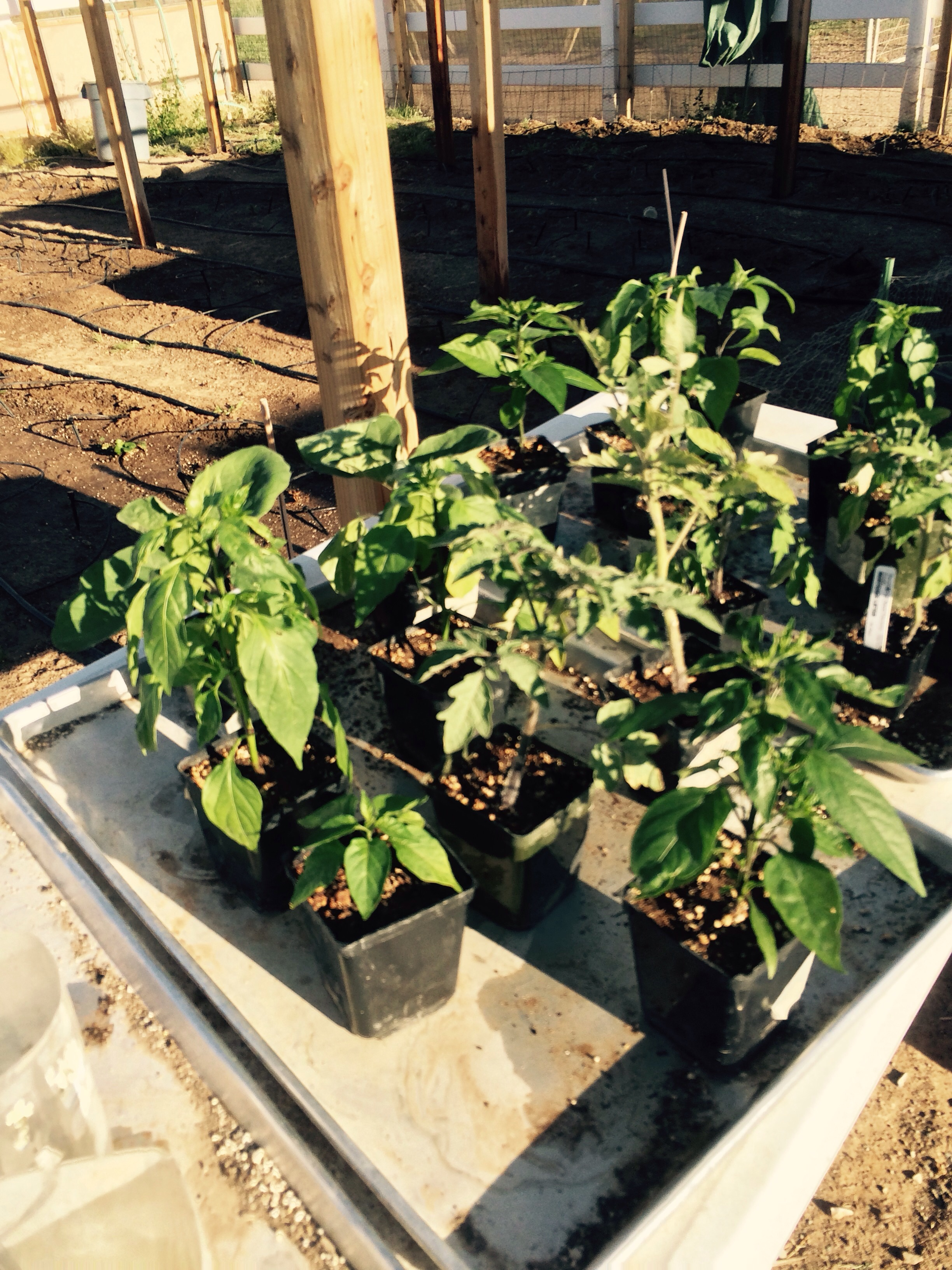 Next Sunday we will plant all our pepper and eggplant transplants never ending work and we never say we are board