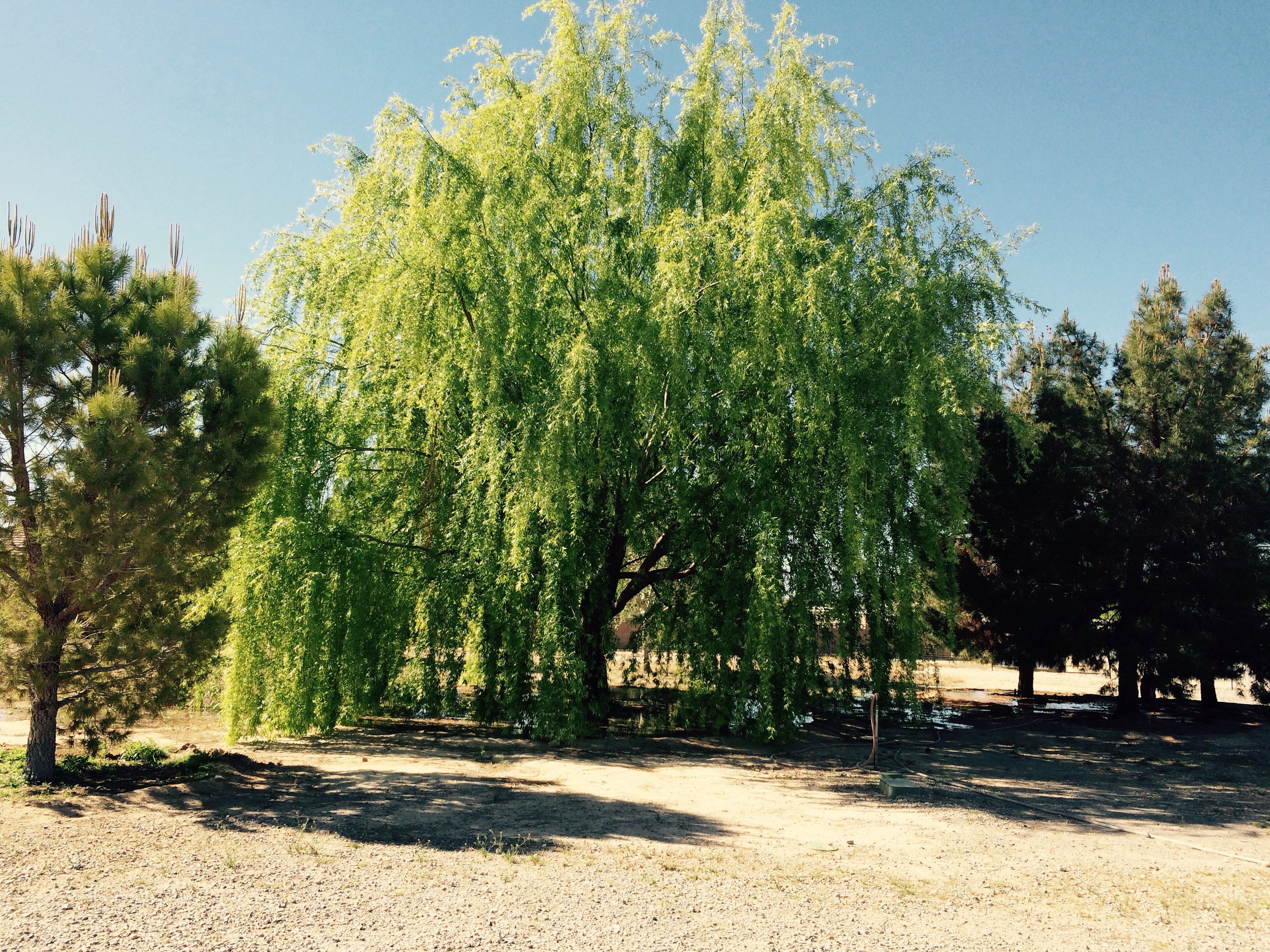 Us old time desert farmers say wait to plant gardens until the mesquit trees star to get thier leaves they have leaves and my farm favorite weeping willow tree is in its full glory