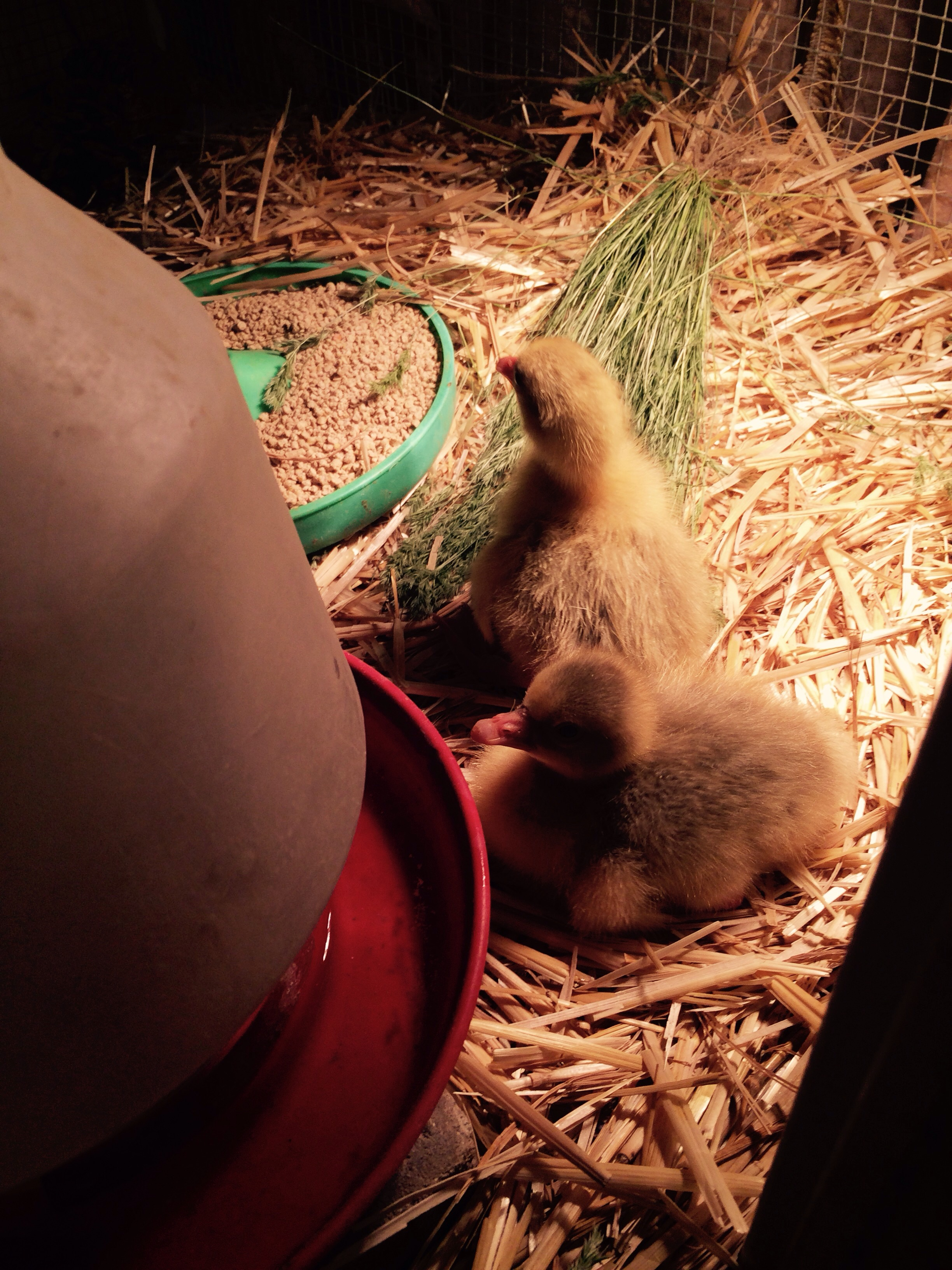 Our second baby hatched the wire and stick nest was a good idea until I had to climb on my hands and knees to get the babies we put the hatchlings under lights in a safe cage until the mother finishes hatching her eggs then we will move her and babies back together in the barn