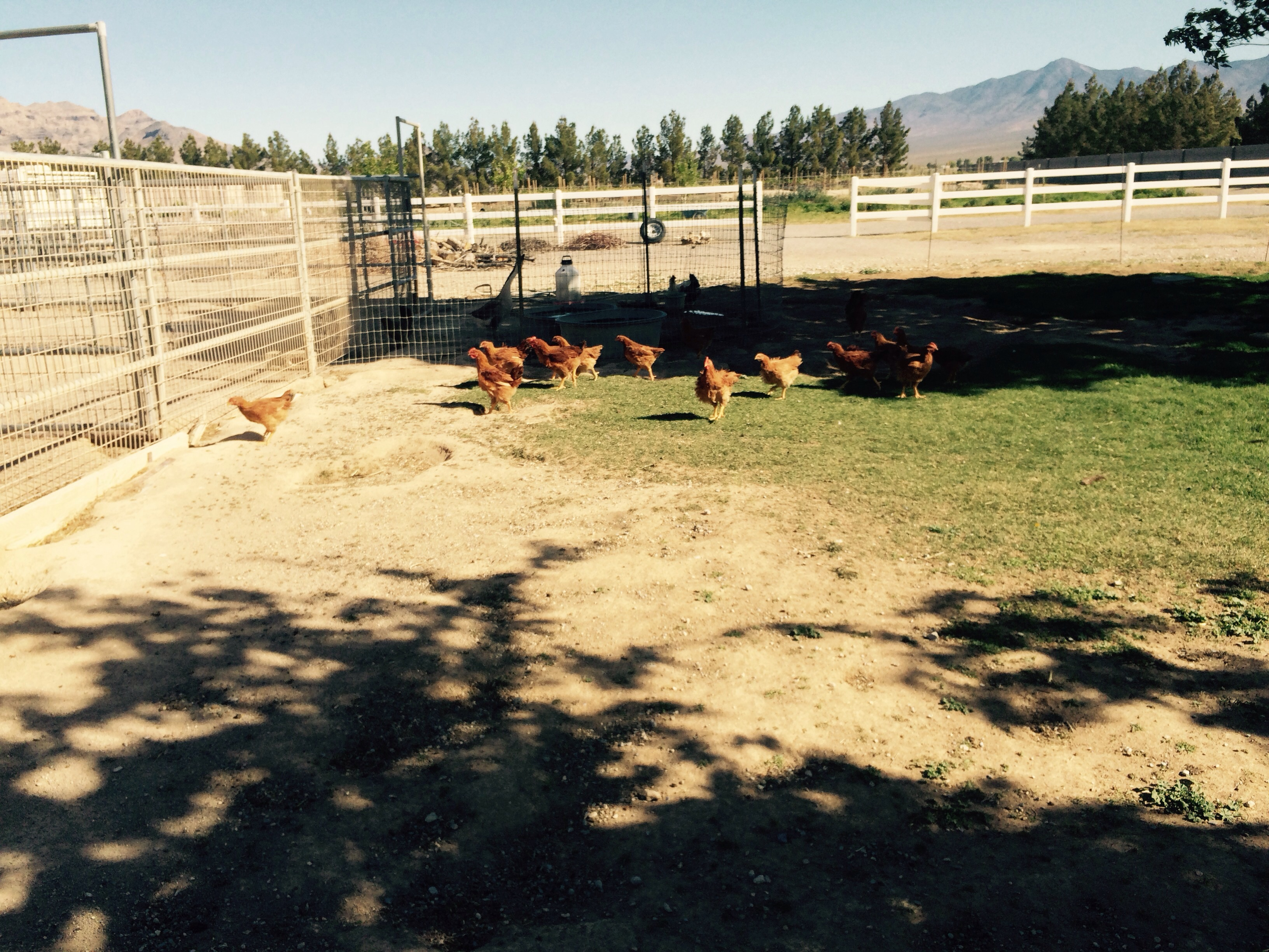 The wind doesn't bother the red ranger chickens out on pasture