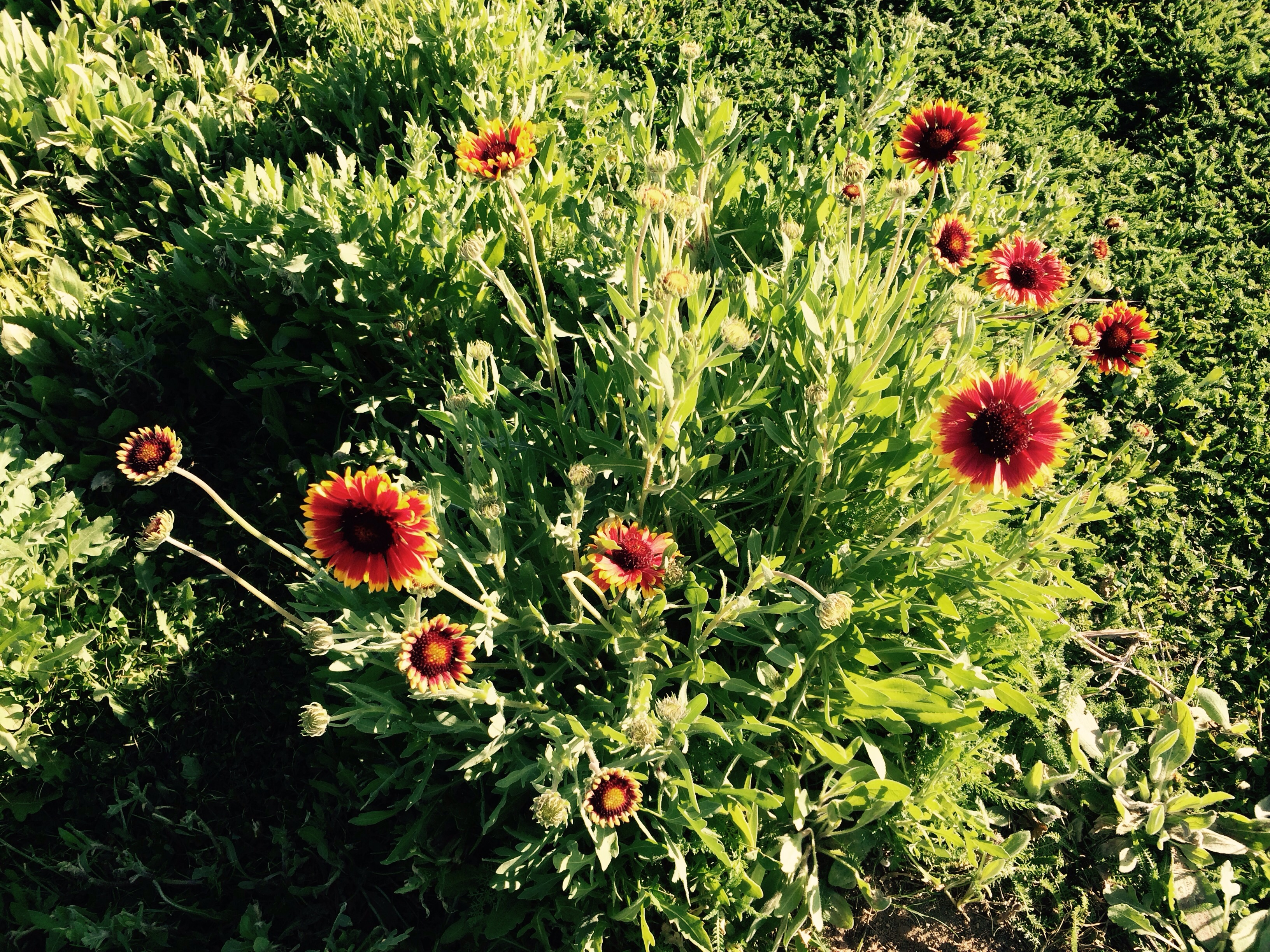We have a field of flowers on our farm so nice to see and we have herb flowers that are really tasty
