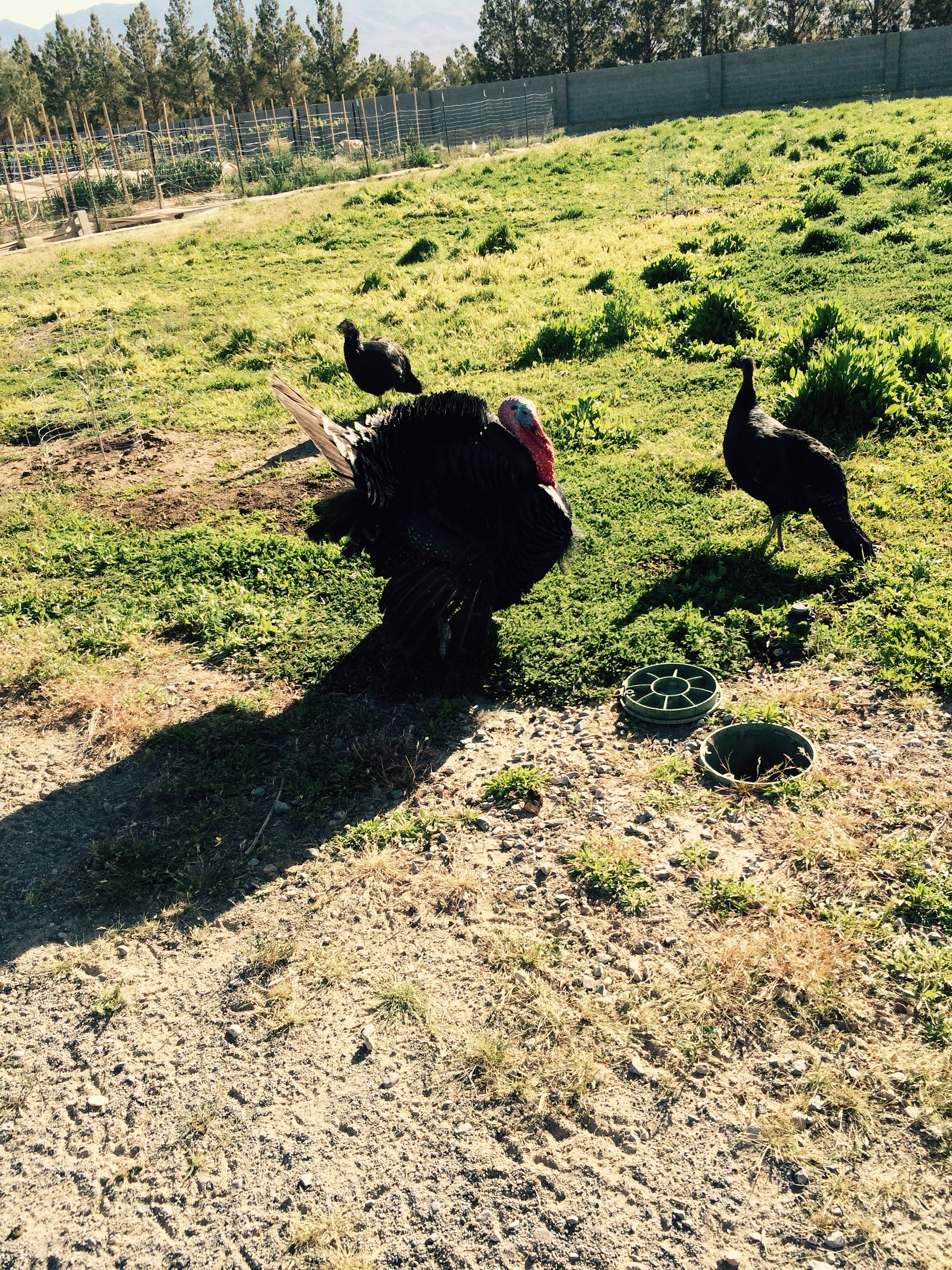 They are enjoying the organic chicken omega three pasture