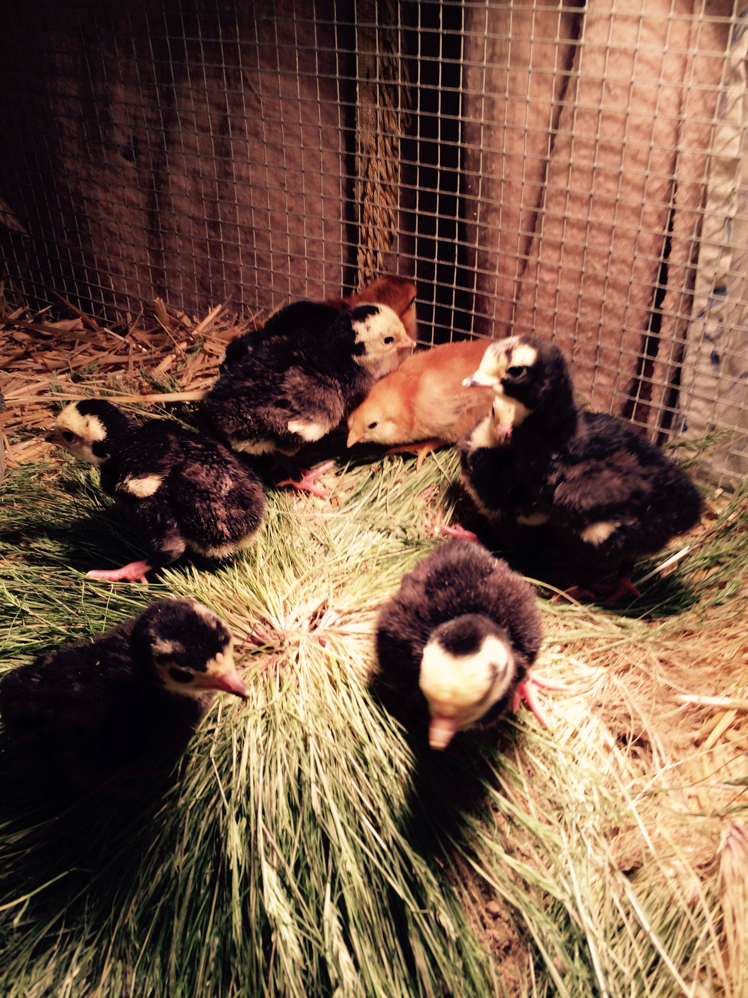 Just found seven black Spanish turkey chicks and two chicken chicks we put them under lights for a week until mama finishes hatching her eggs