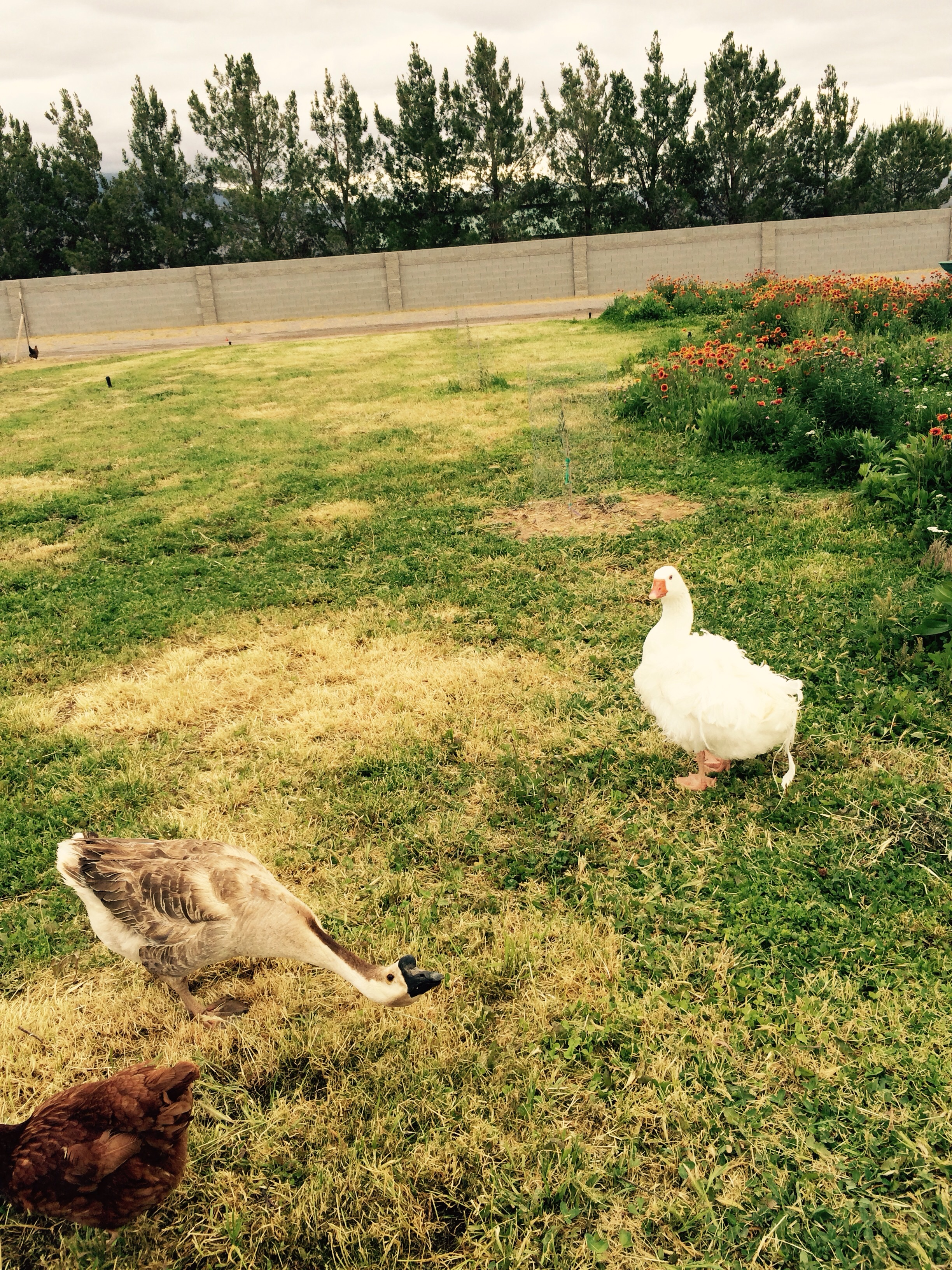 They are enjoying the morning out on the organic chicken grass pasture along with all our some of our farm flowers