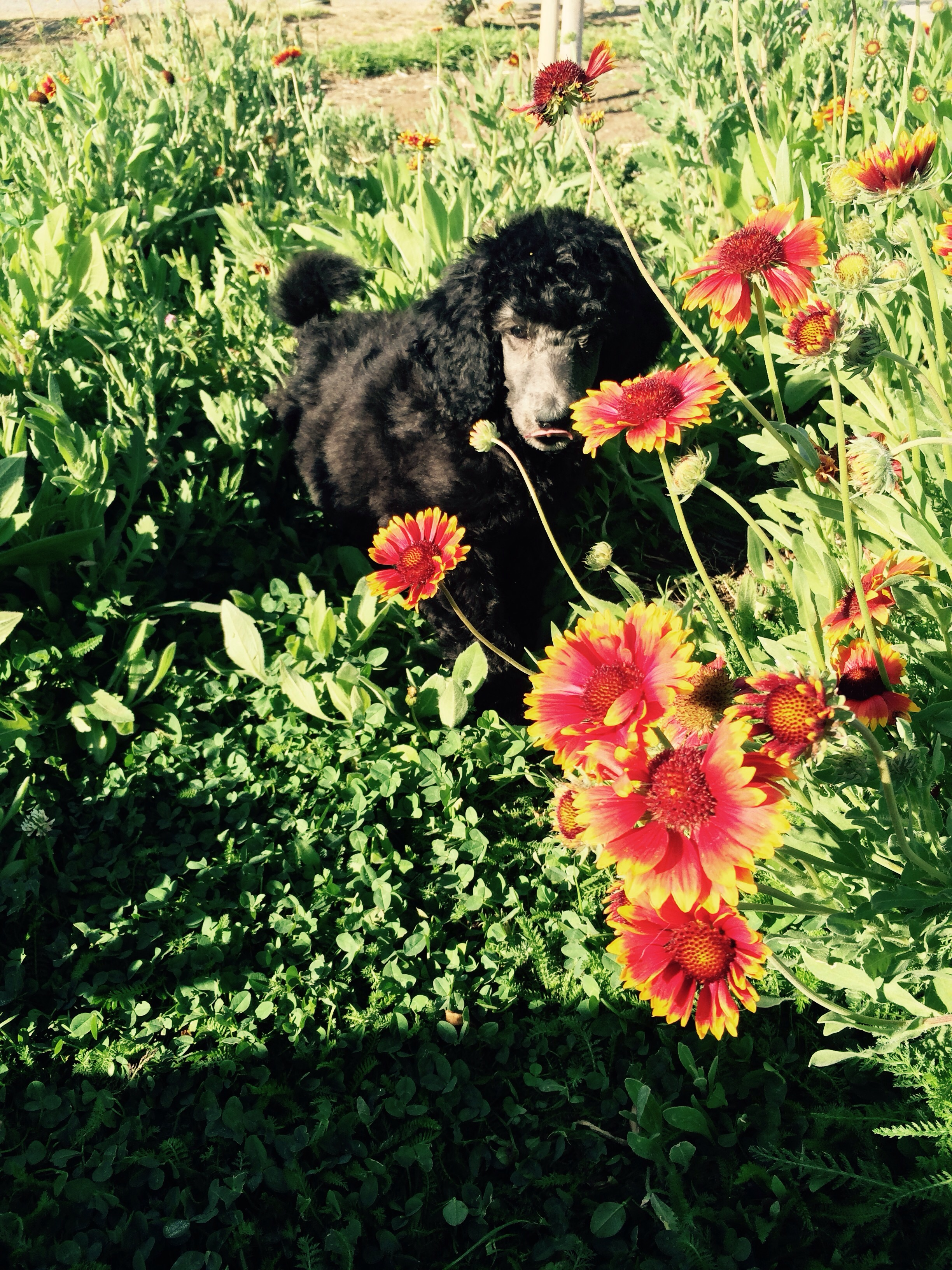 We are slowly introducing Sampson to the farm as he will be a working dog as he grows up
