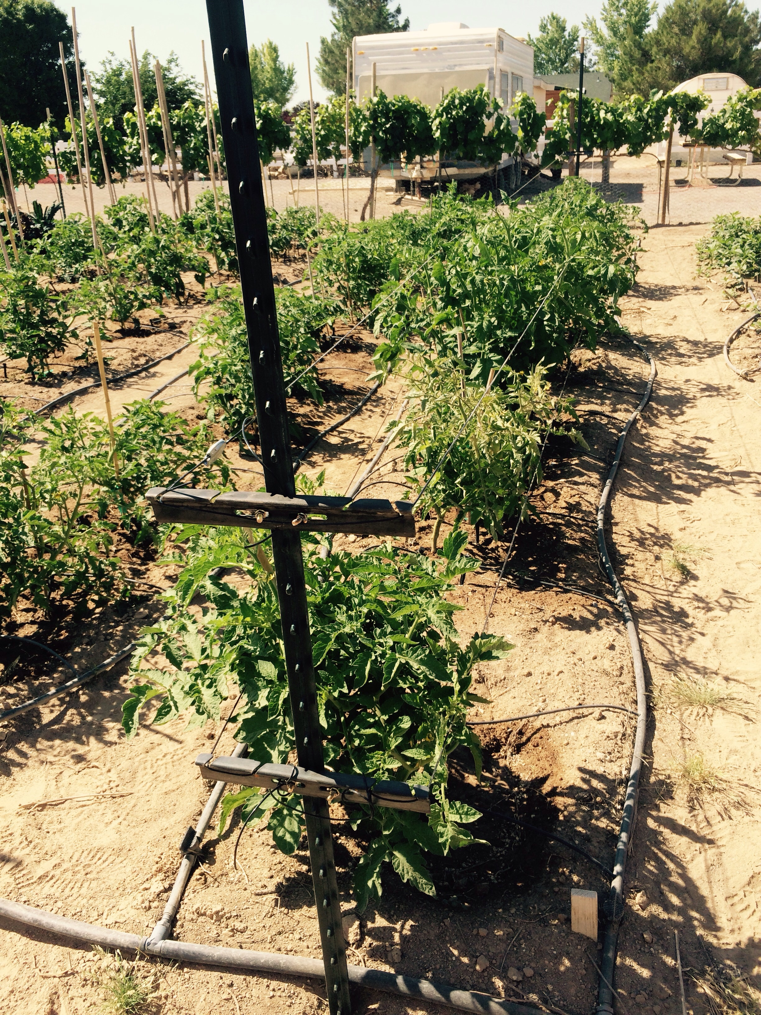 We are using our California spiral trellis system that we used successfully in our vineyards on our heirloom tomato gardens