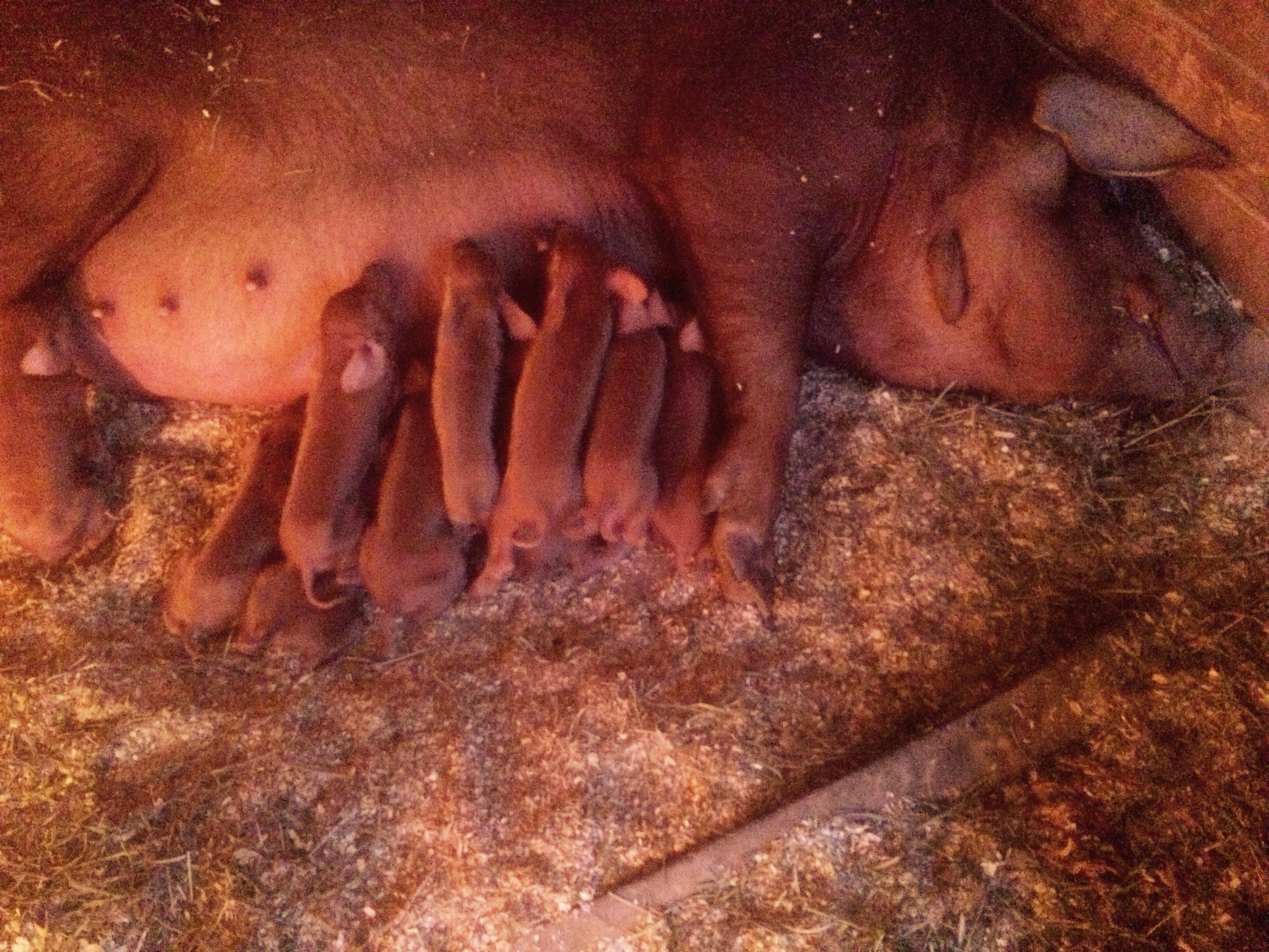 It was just a year ago we we were up every two hours bottle feeding Roxy now she is a mother of eleven piglets