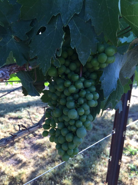 Wow our grapes in the vineyard are thriving