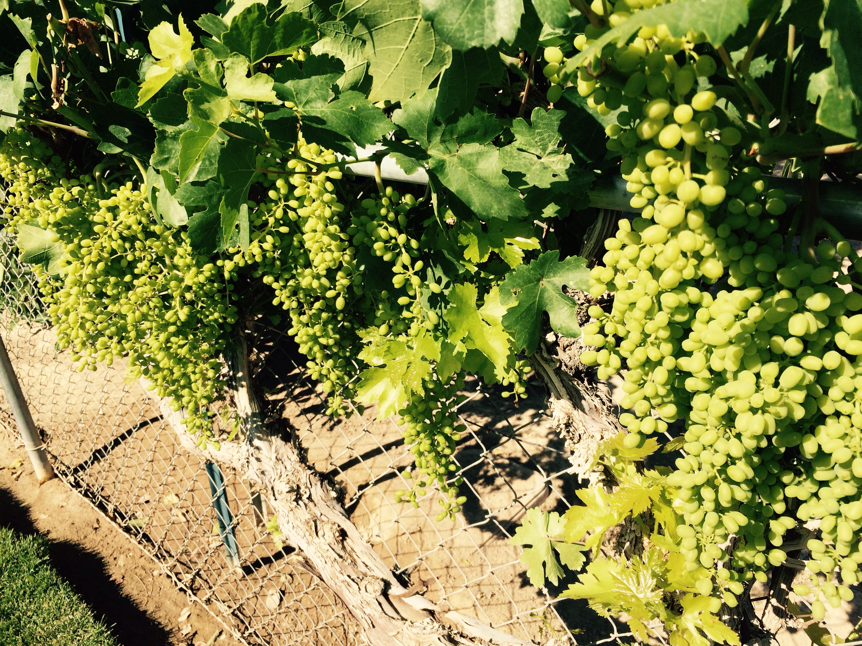 I think we are going to Have a record crop this year of grapes both in vineyards as well as table grapes