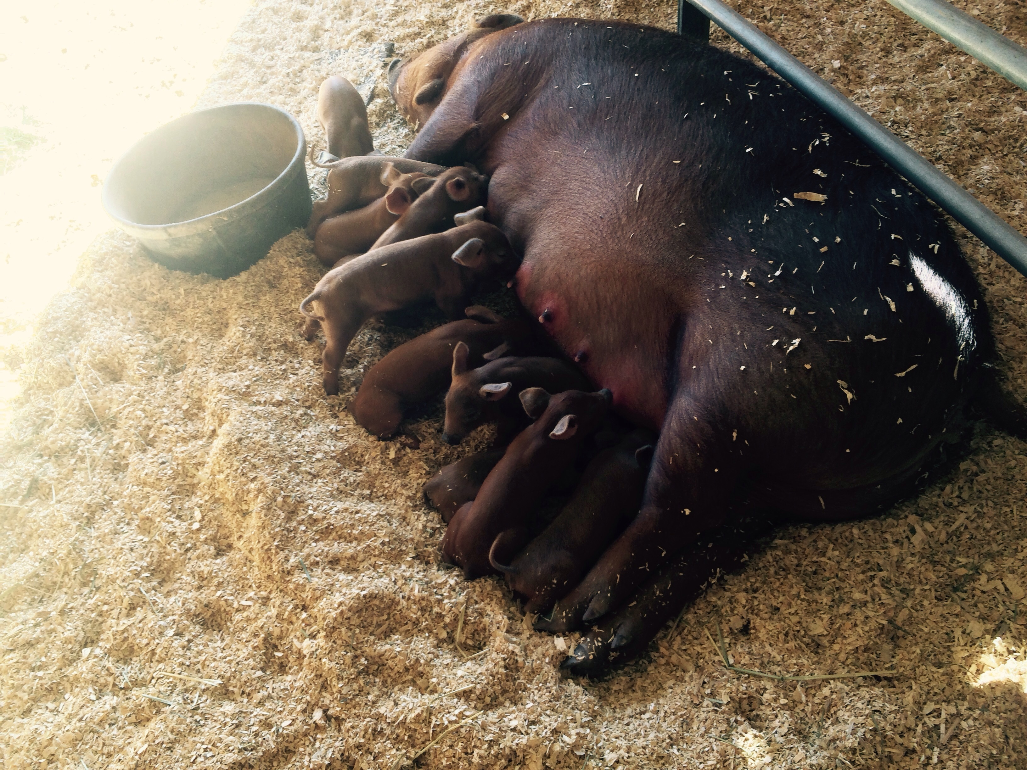 Roxy is doing a good job for first time mom all eleven piglets are healthy