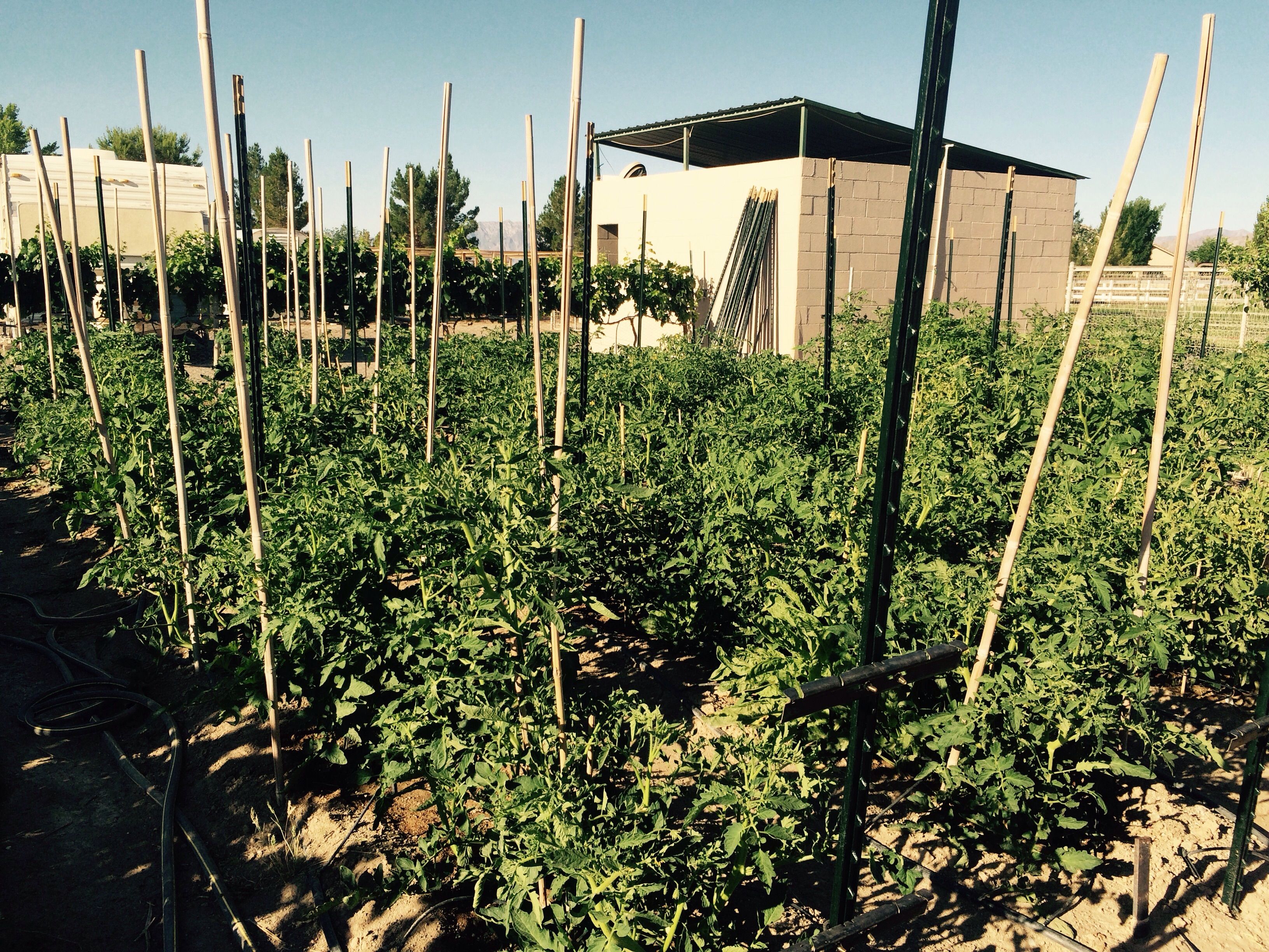 Our orators are the best plants we have had and there is 100's of tomatoes on the vines can't wait for ripe heirloom tomatoes it will be fall before the potatoes will be ready