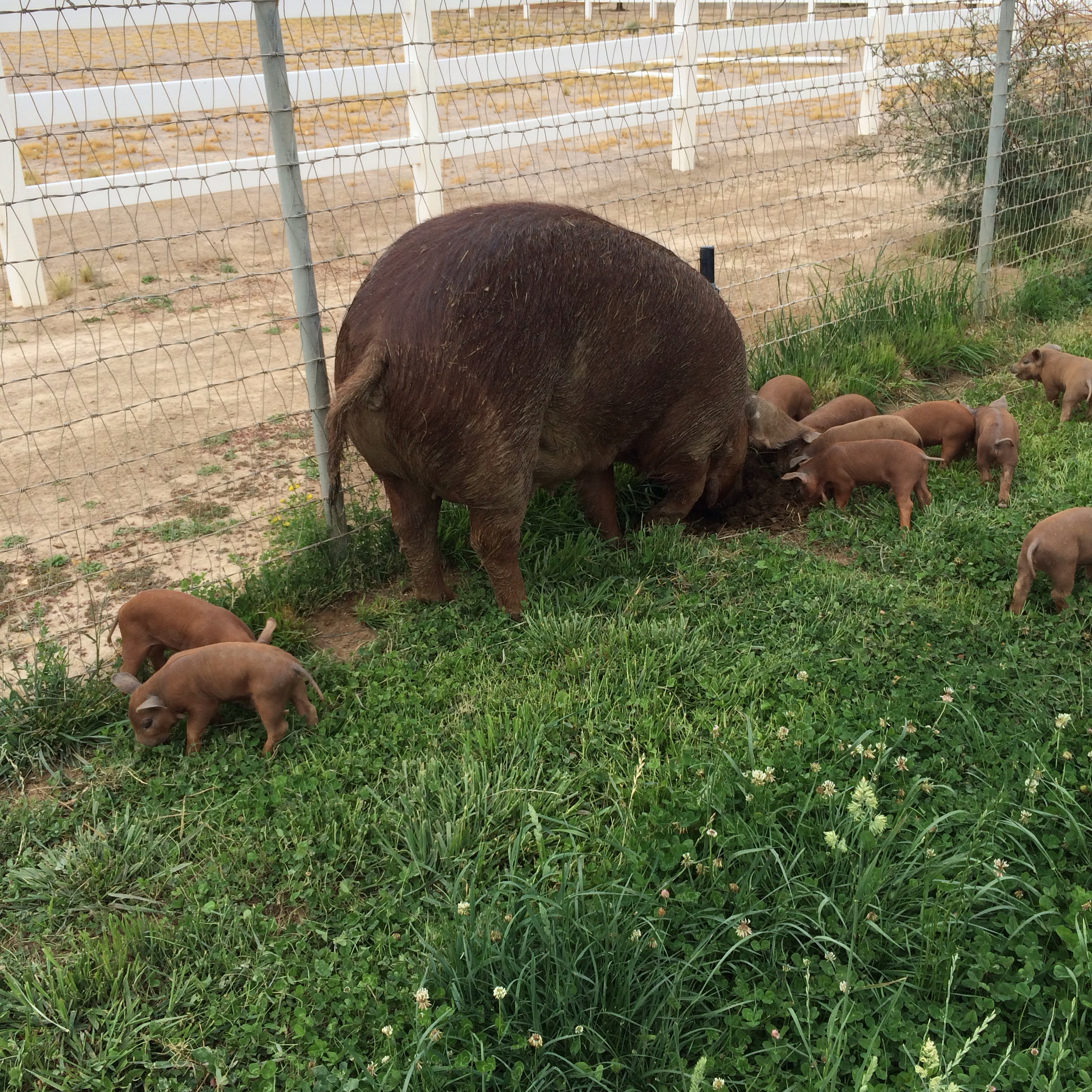 Roxy is showing piglets how to root in the pasture