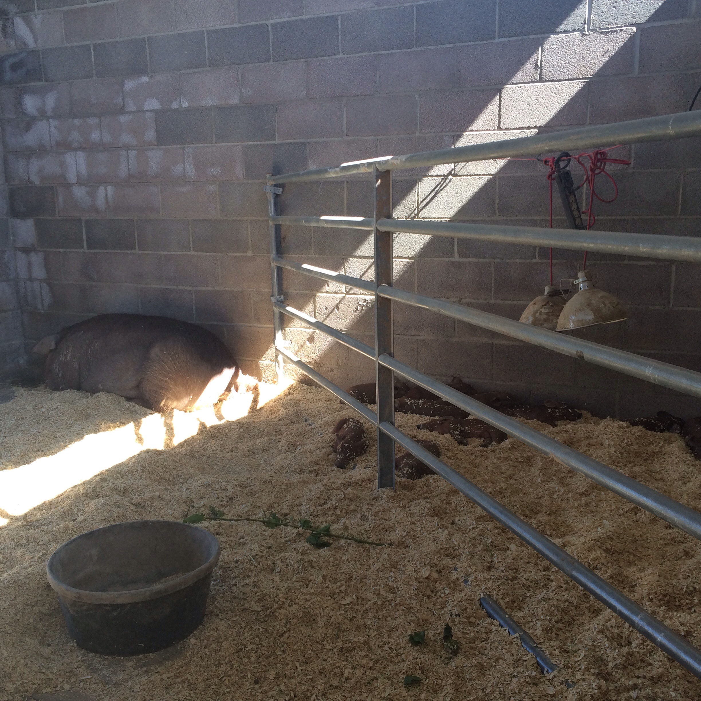 The AWA helped us with the wall and so far it's working all eleven piglets are doing well