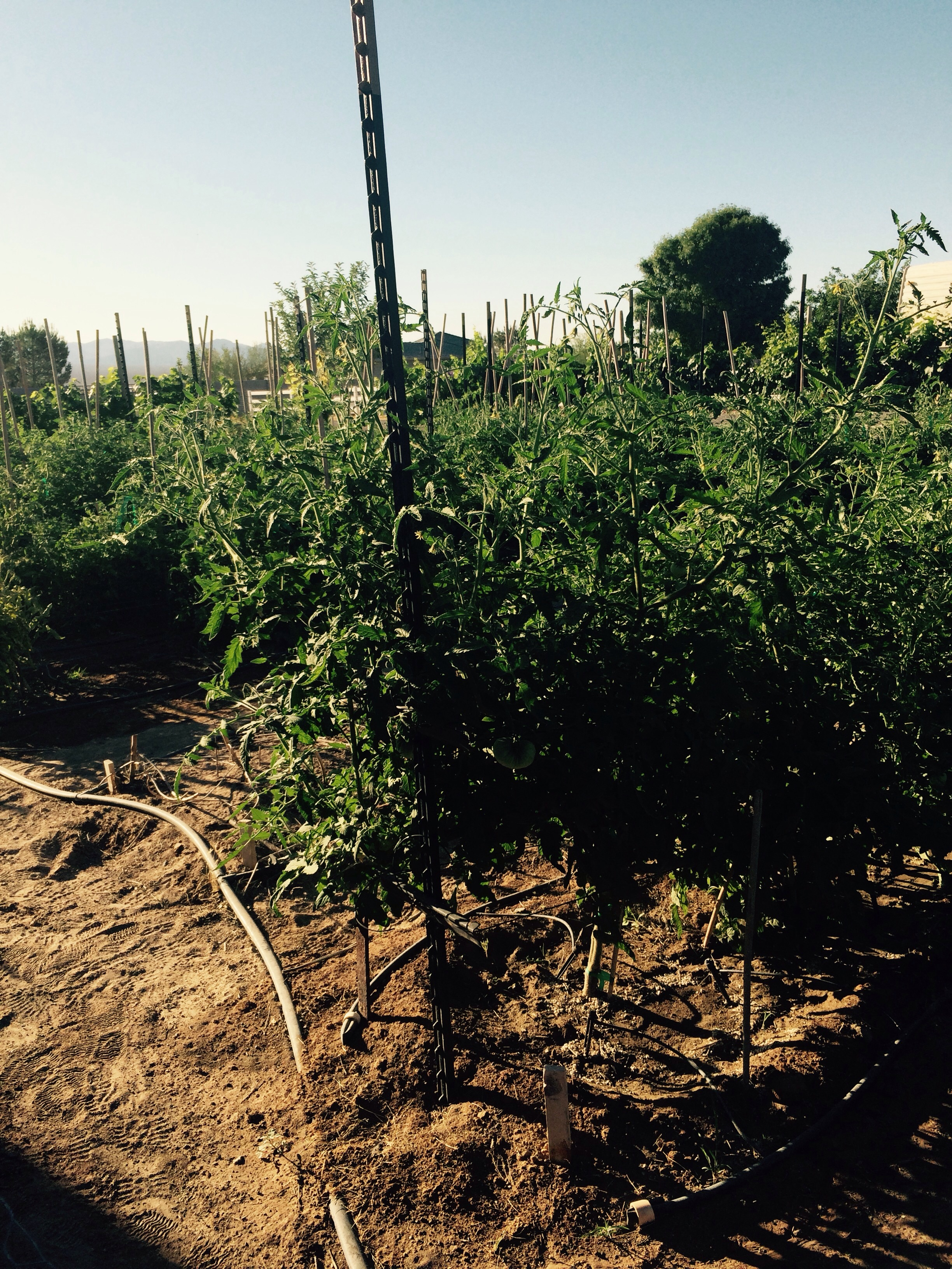 We have hundreds of tomatoes on the vine we hope they all ripen as it's very difficult in the desert