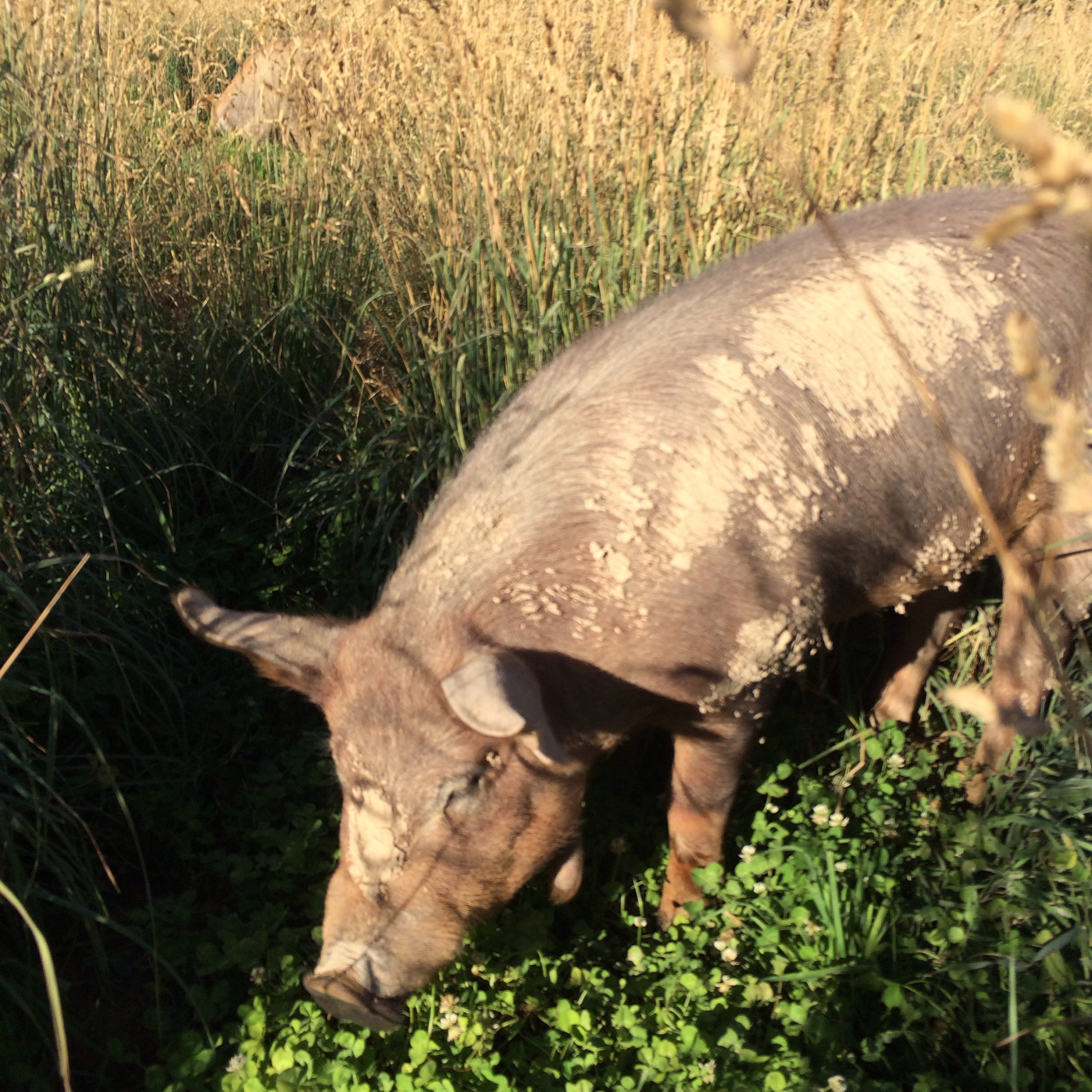 Rocco and Mona our sow and boar are enjoying the clover