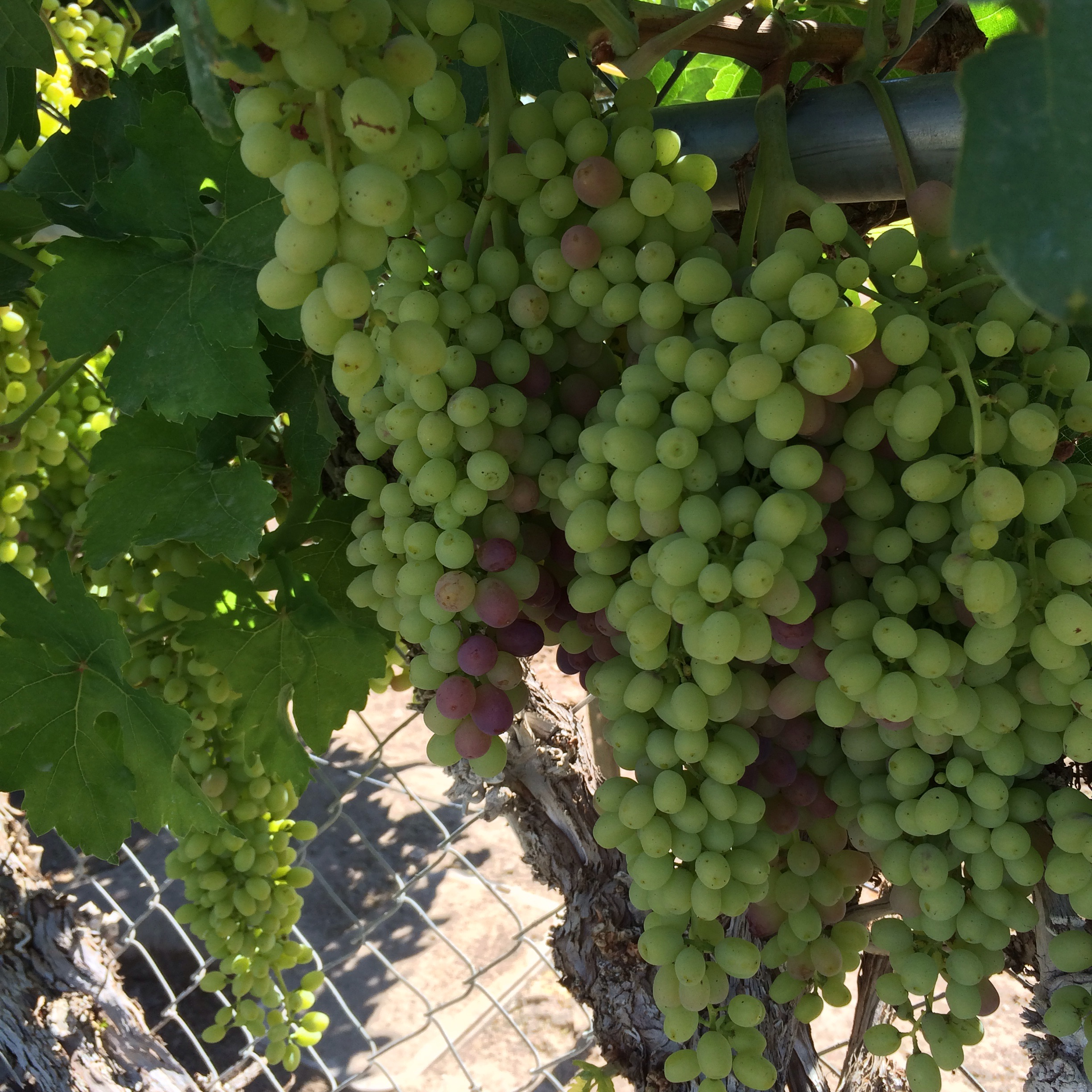 We have a few different types of grapes looks like a bumper crop this year