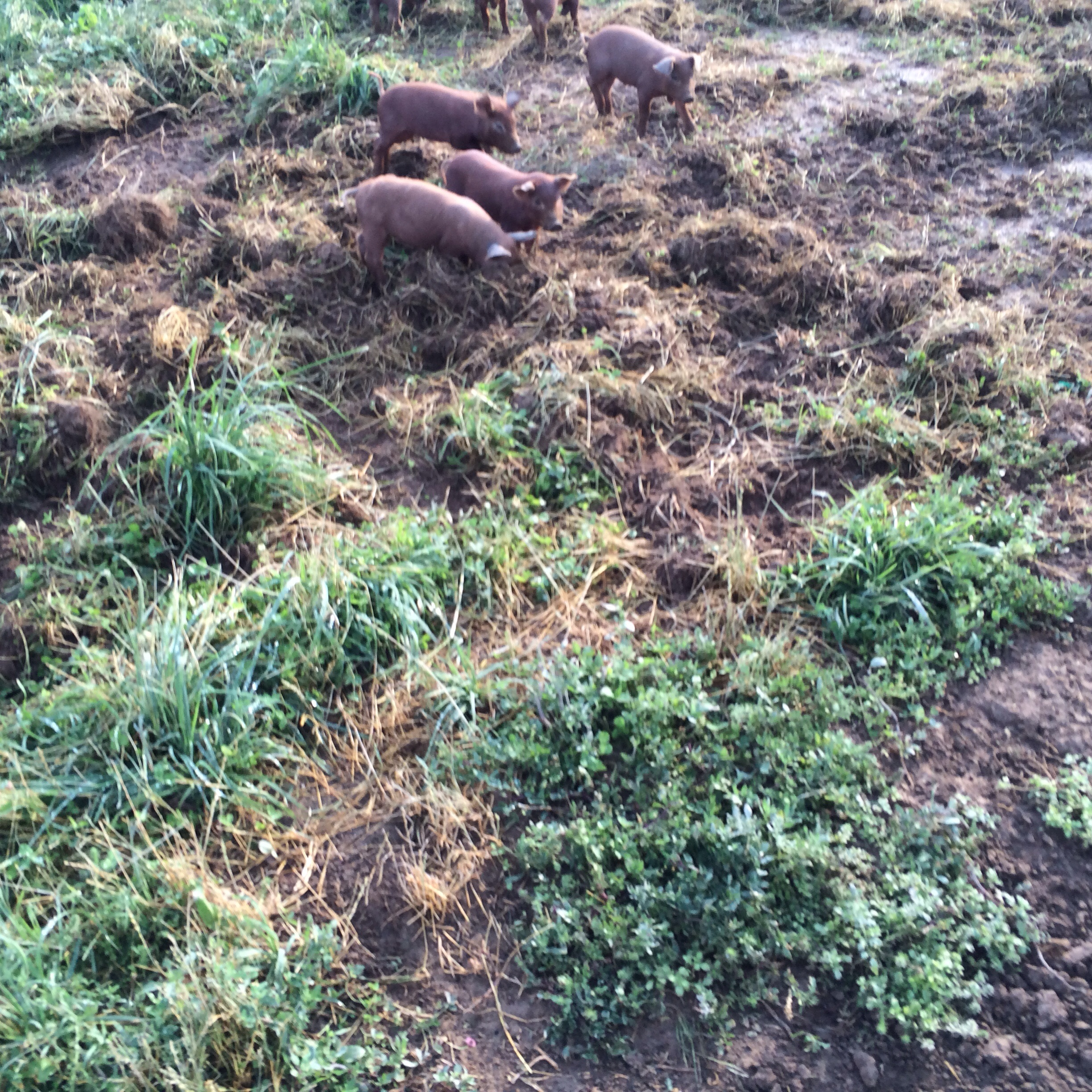 Piglets rooting around in the pastures