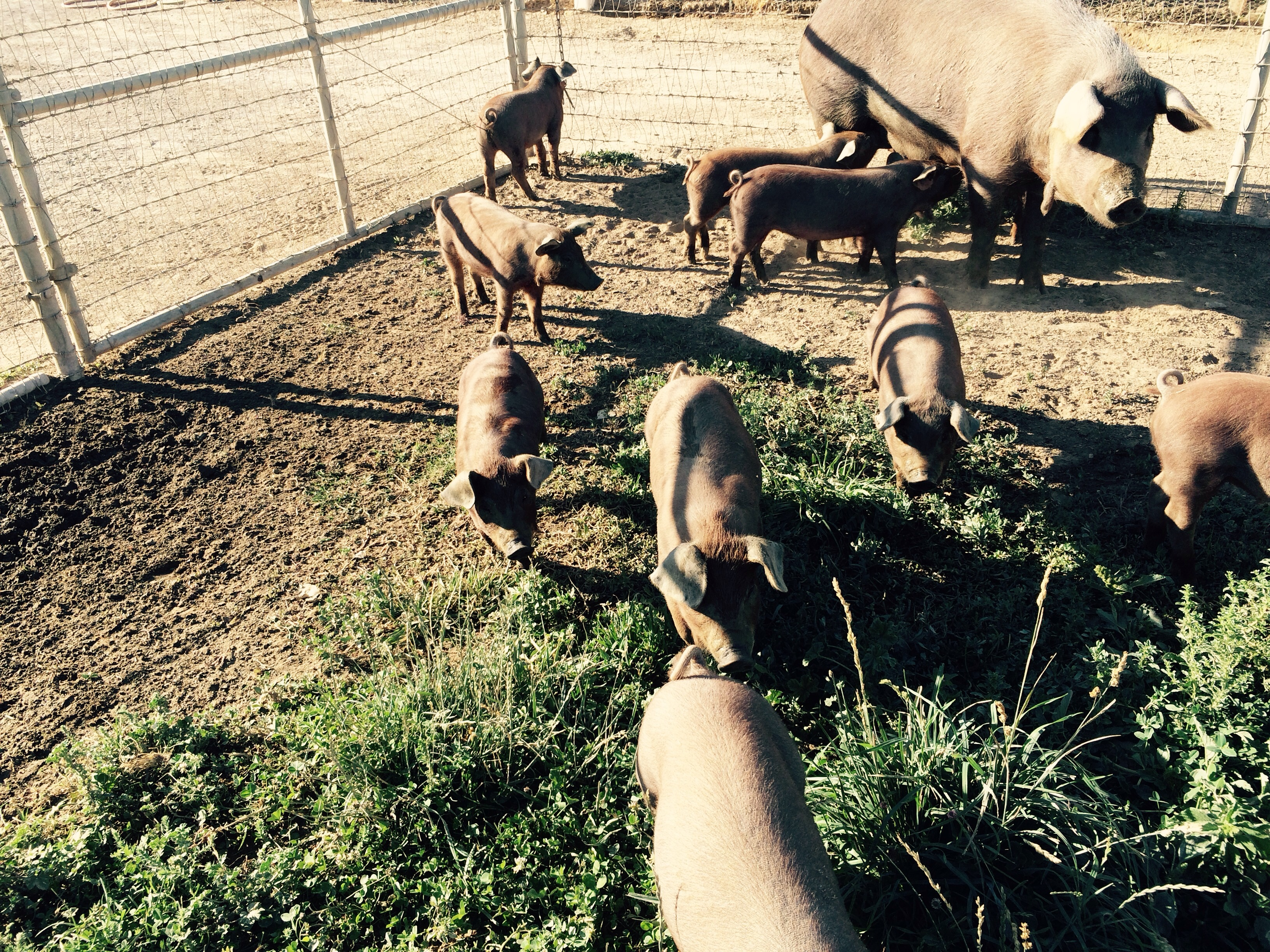 We have several suckling piglets ready to go please call if you are interested in the best