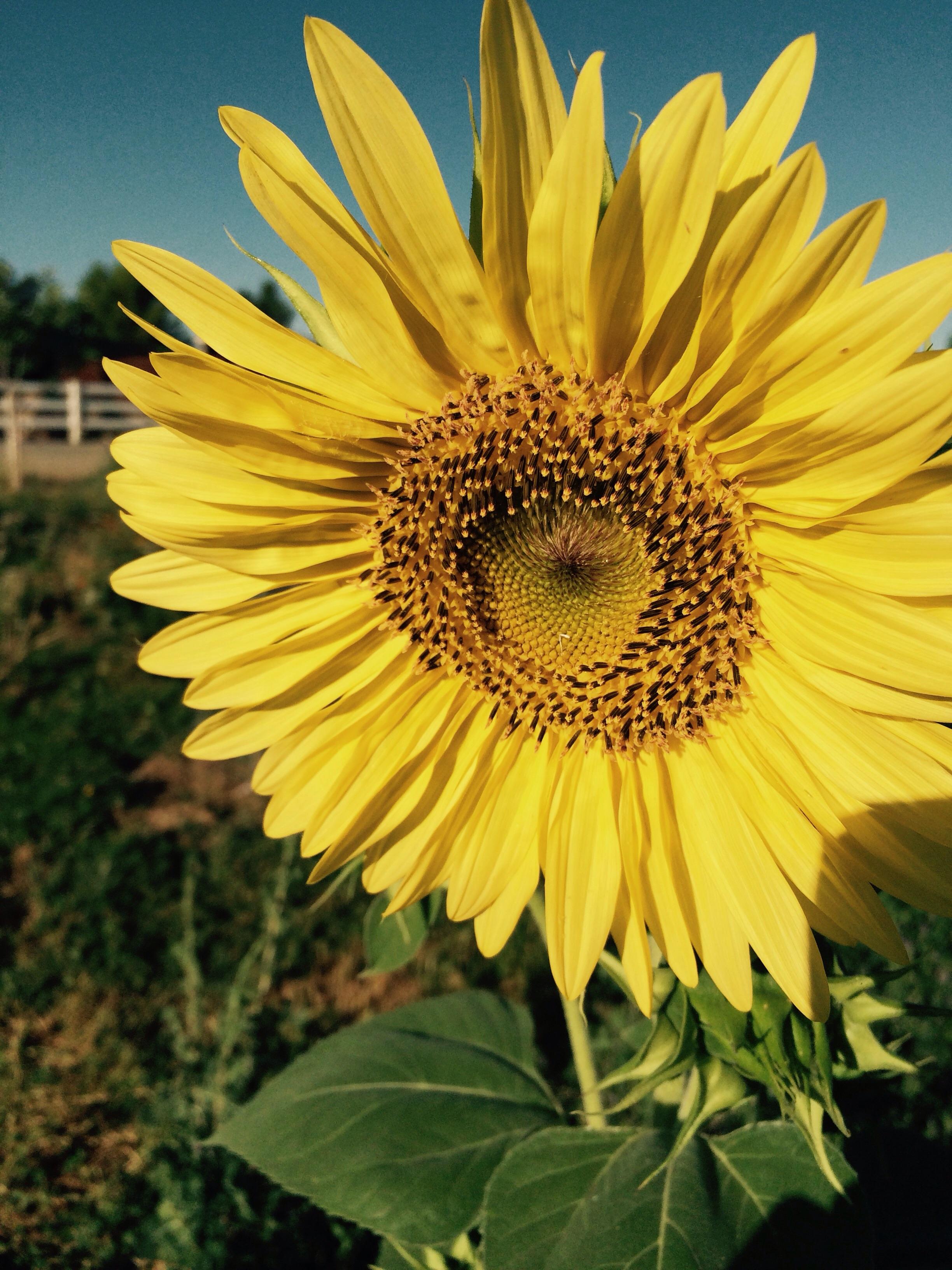 We woke up to this bright sunflower saying hello to the sunshine